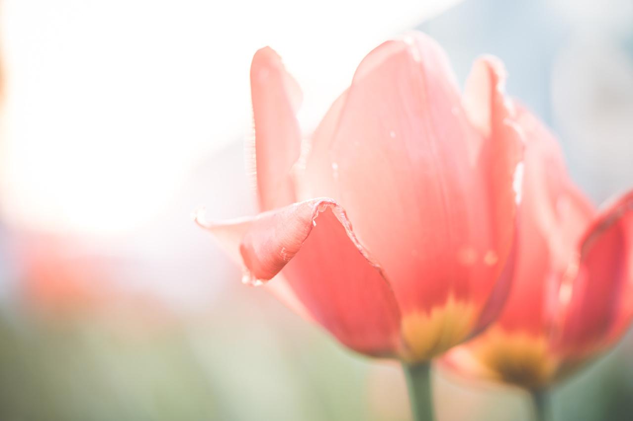 Fotos von Bokeh Tulpen Rosa Farbe Blumen Großansicht unscharfer Hintergrund Blüte hautnah Nahaufnahme