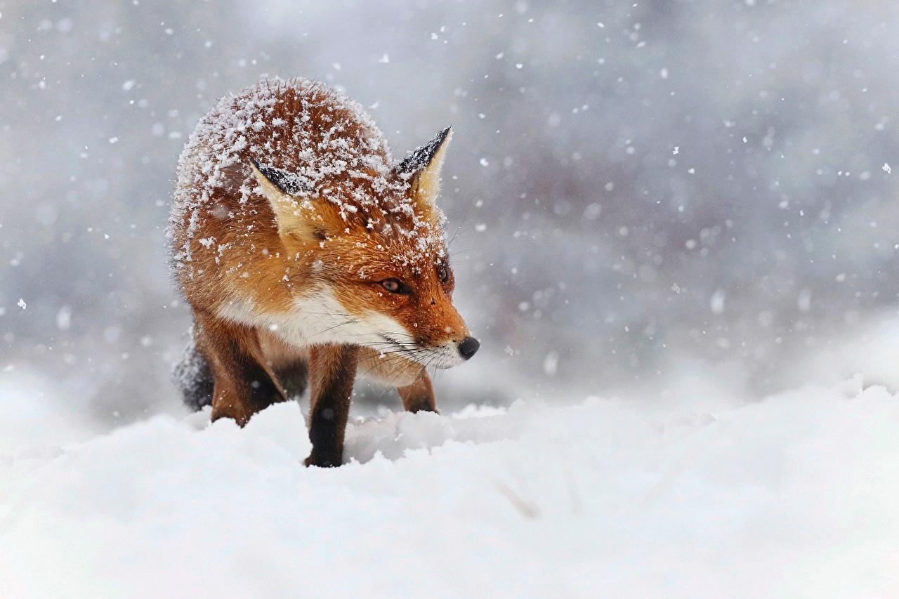 Fotos Füchse Schneeflocken Schnee ein Tier Tiere