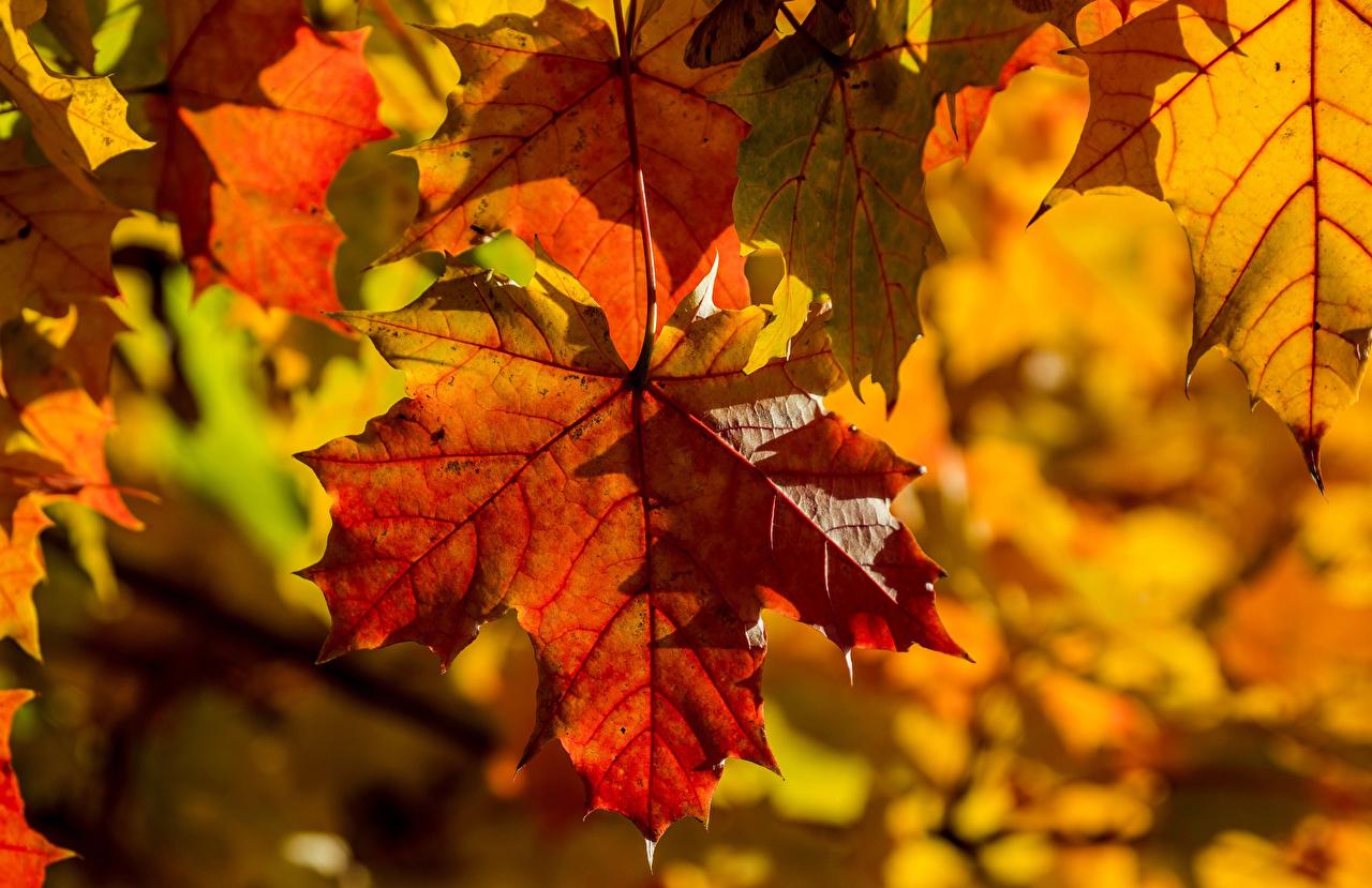 、秋、クローズアップ、カエデ、木の葉、自然、