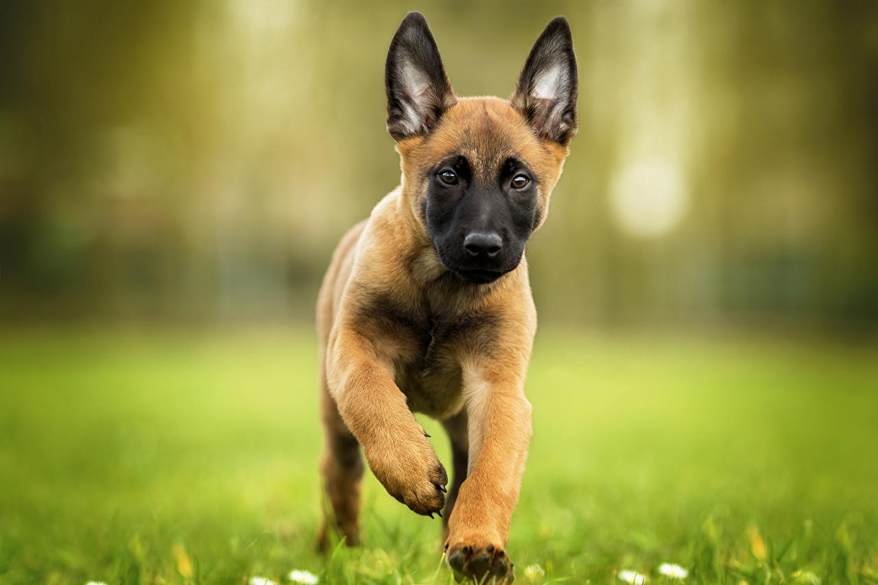 Fotos von Tiere Welpe Shepherd Hunde Laufen Belgischer Schäferhund Lauf Laufsport