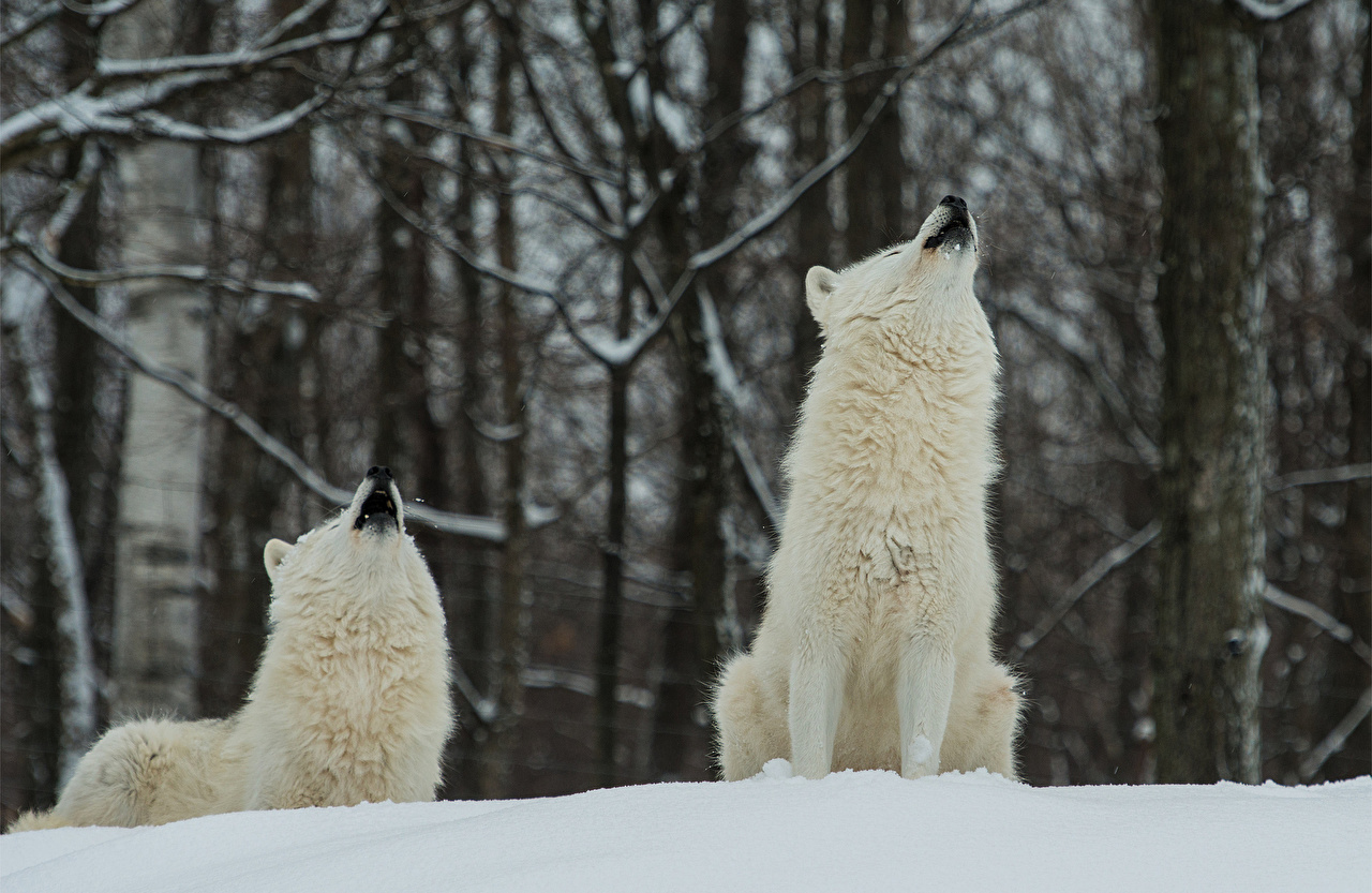 Picture Wolves White Animals wolf animal