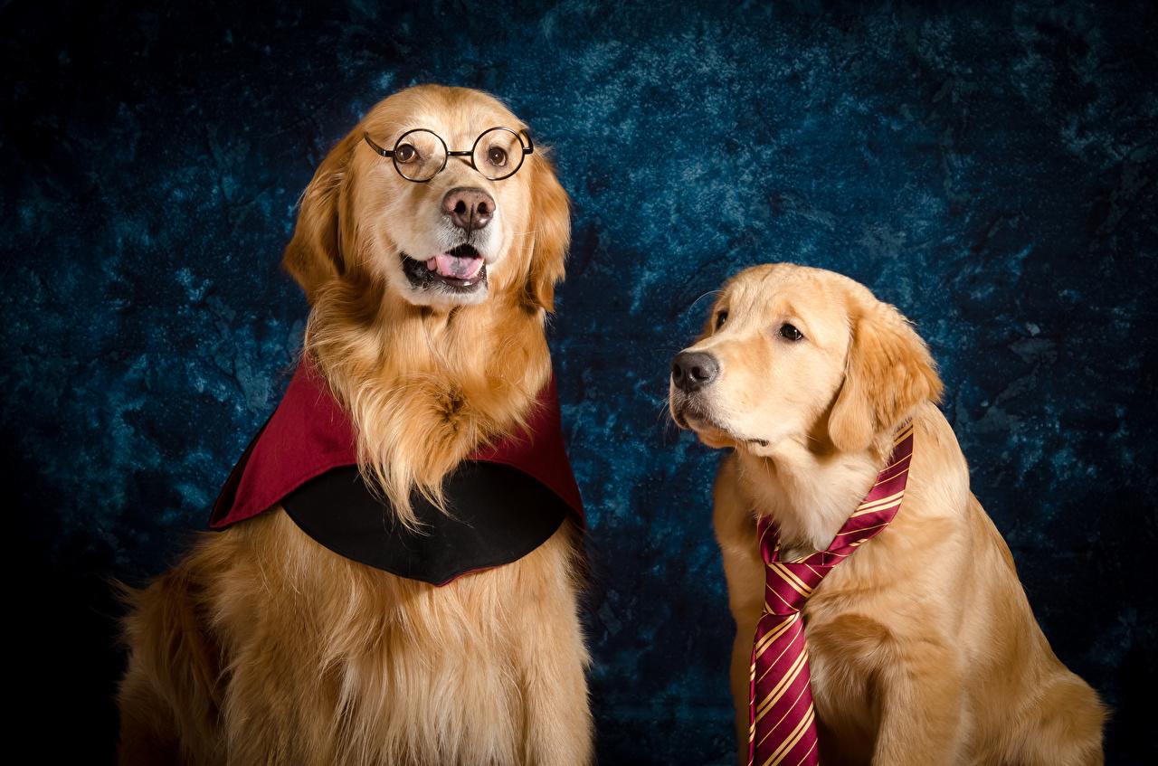 Fotos von Golden Retriever Hunde Zwei Krawatte Brille Tiere 2