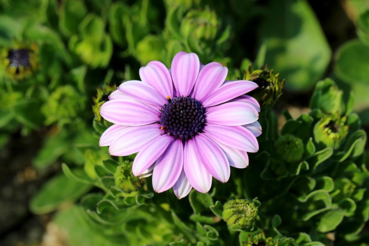 Foto Bokeh Kapkörbchen Rosa Farbe Blüte Nahaufnahme unscharfer Hintergrund Blumen hautnah Großansicht