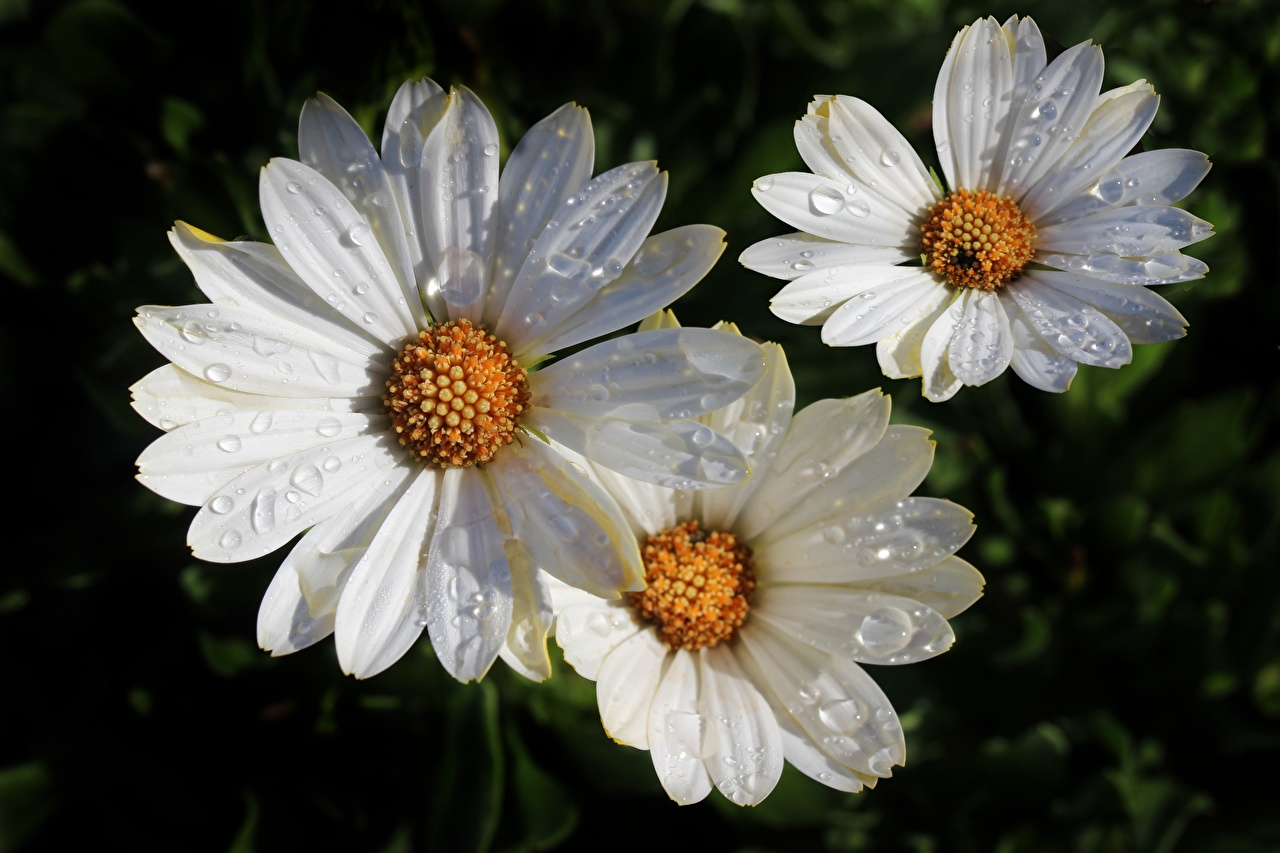 Photos White Drops Flowers matricaria Closeup flower Camomiles