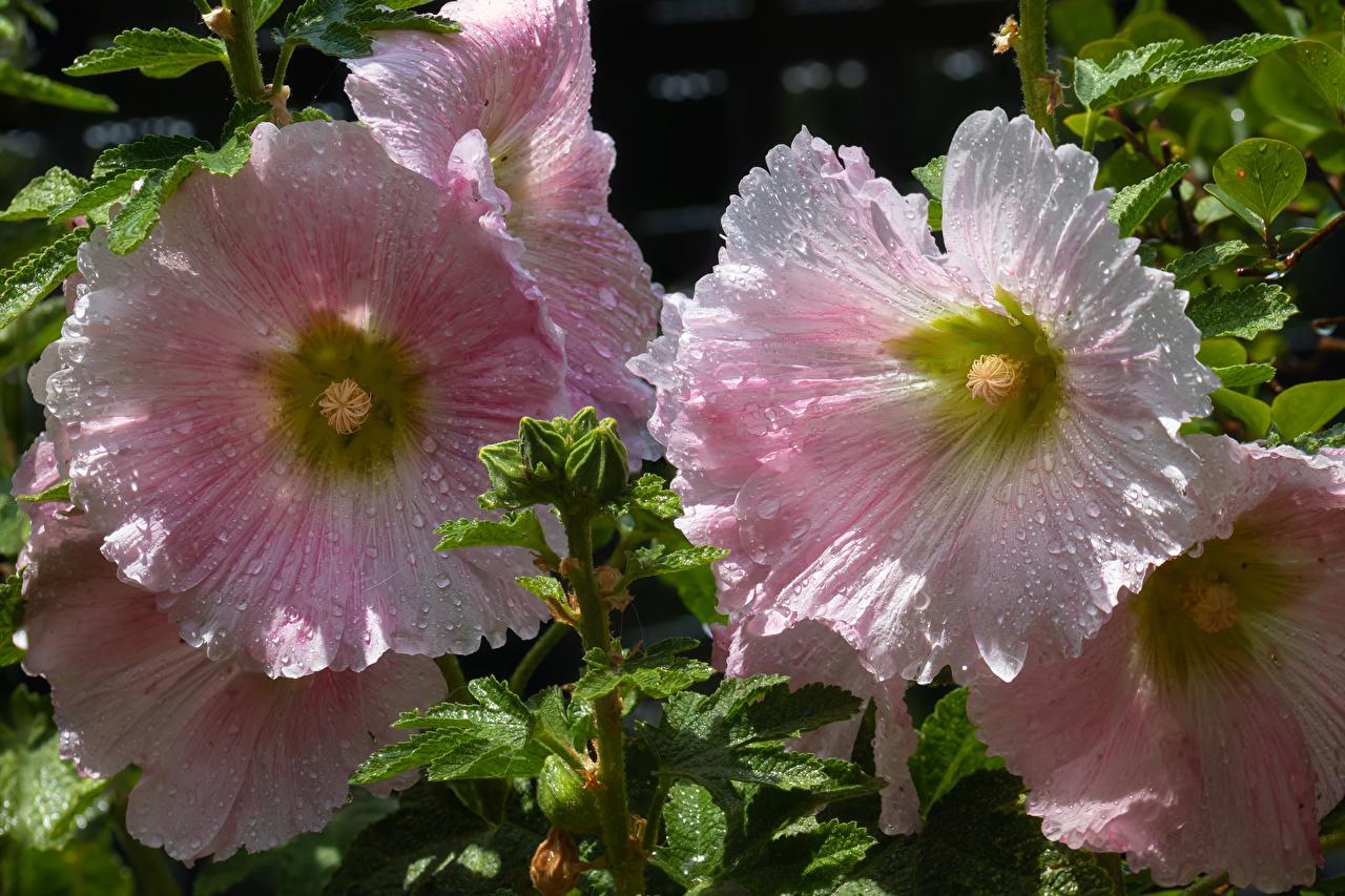 Desktop Hintergrundbilder Rosa Farbe Malven Blüte Tropfen hautnah Blumen Nahaufnahme Großansicht