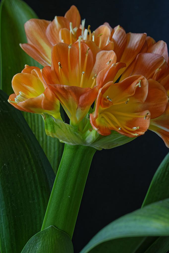 Desktop Wallpapers Clivia Orange flower Closeup Black background  for Mobile phone Flowers