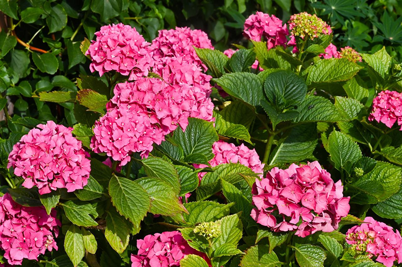 Fotos von Blatt Rosa Farbe Blumen Hortensie Großansicht Blattwerk Blüte Hortensien hautnah Nahaufnahme