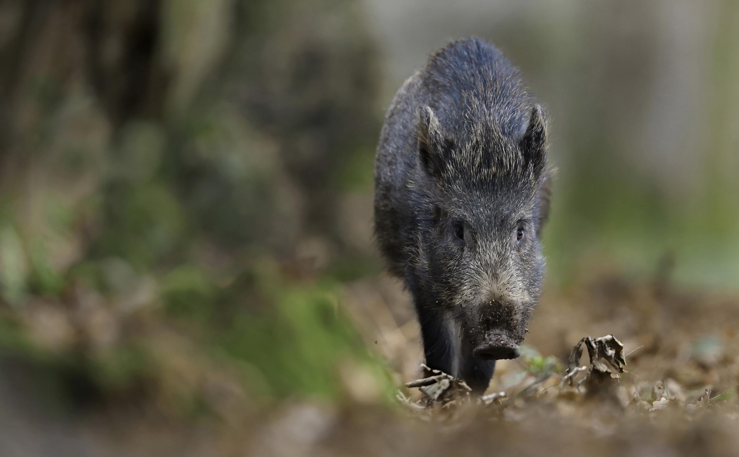Pictures Wild boar blurred background animal 2560x1582 wild pig wild swine Bokeh Animals