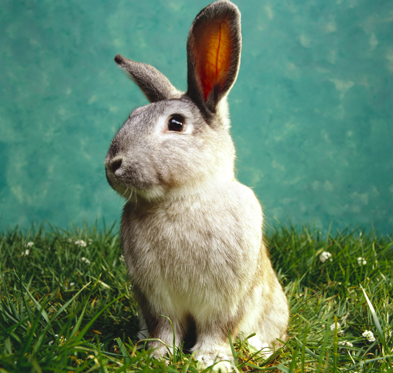 Wallpaper Rabbits Grass Animals rabbit animal