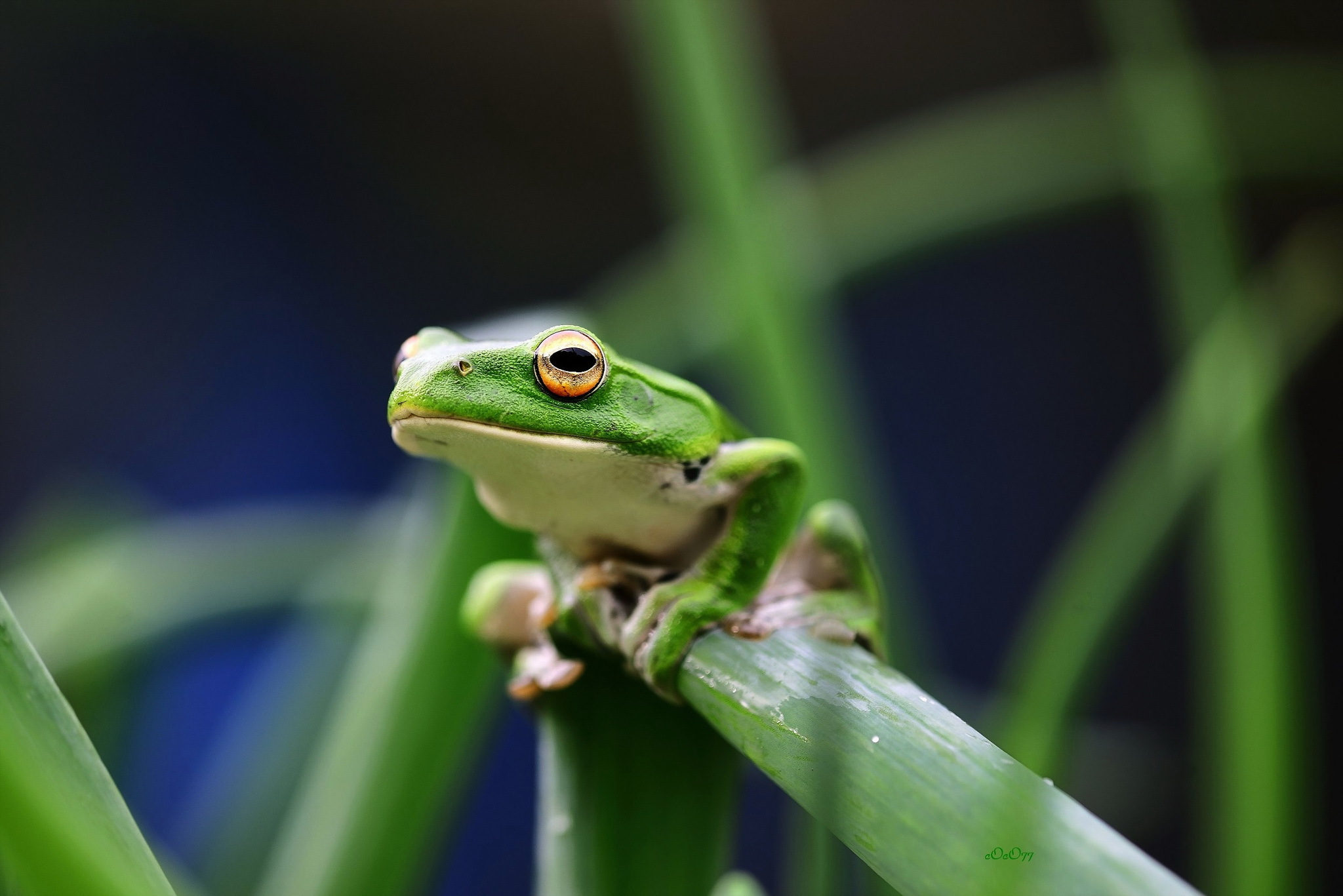 Skrivebordsbakgrunn frosken Gress Dyr Blikk Frosker ser