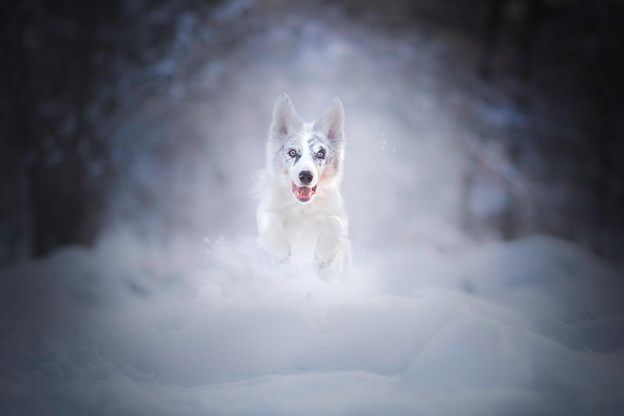 Bilder Australian Shepherd hund Lauf Schnee Sprung Tiere Hunde Laufen Laufsport ein Tier