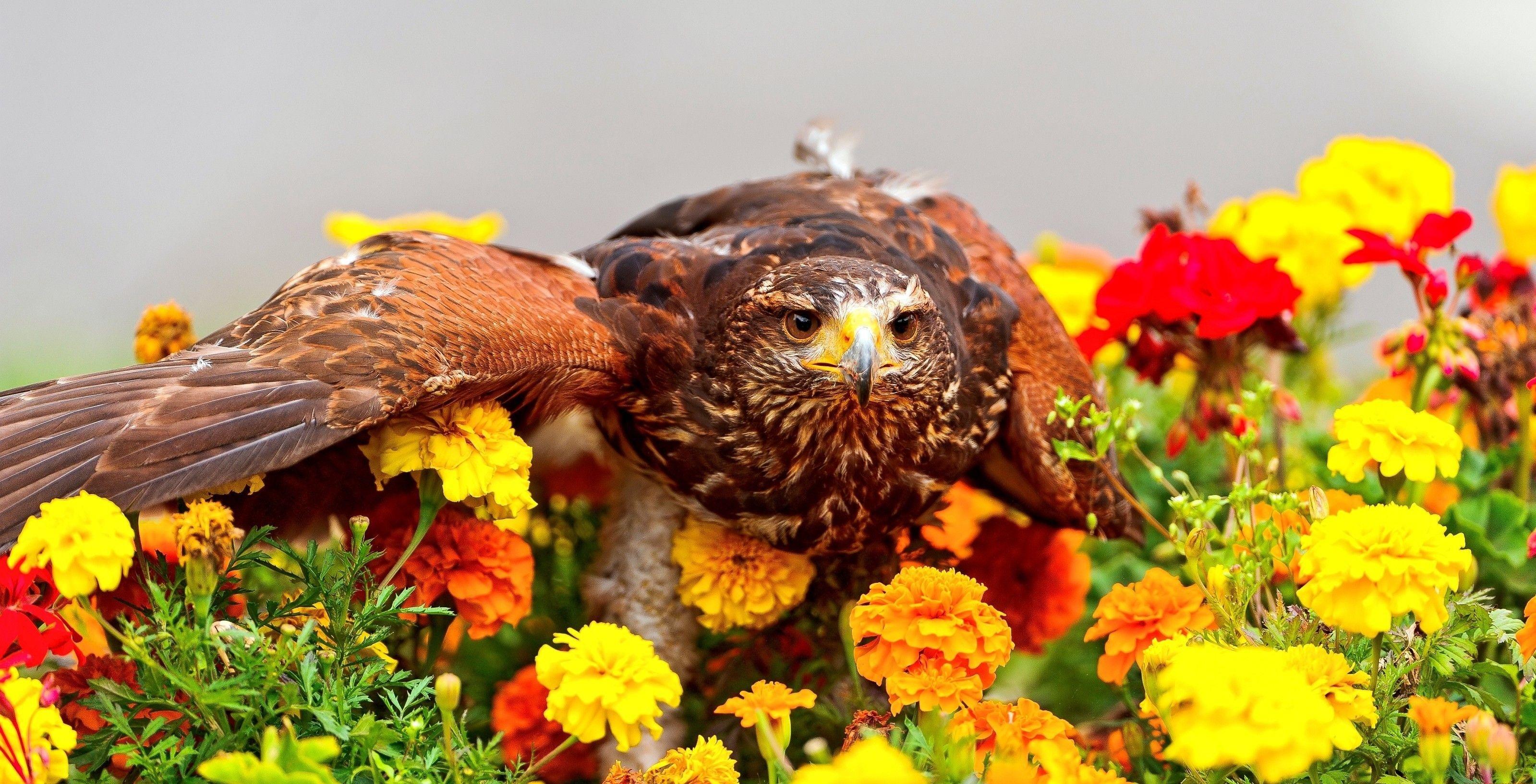 Photo Hawk bird flower Tagetes Animals 3199x1633 Birds Flowers animal