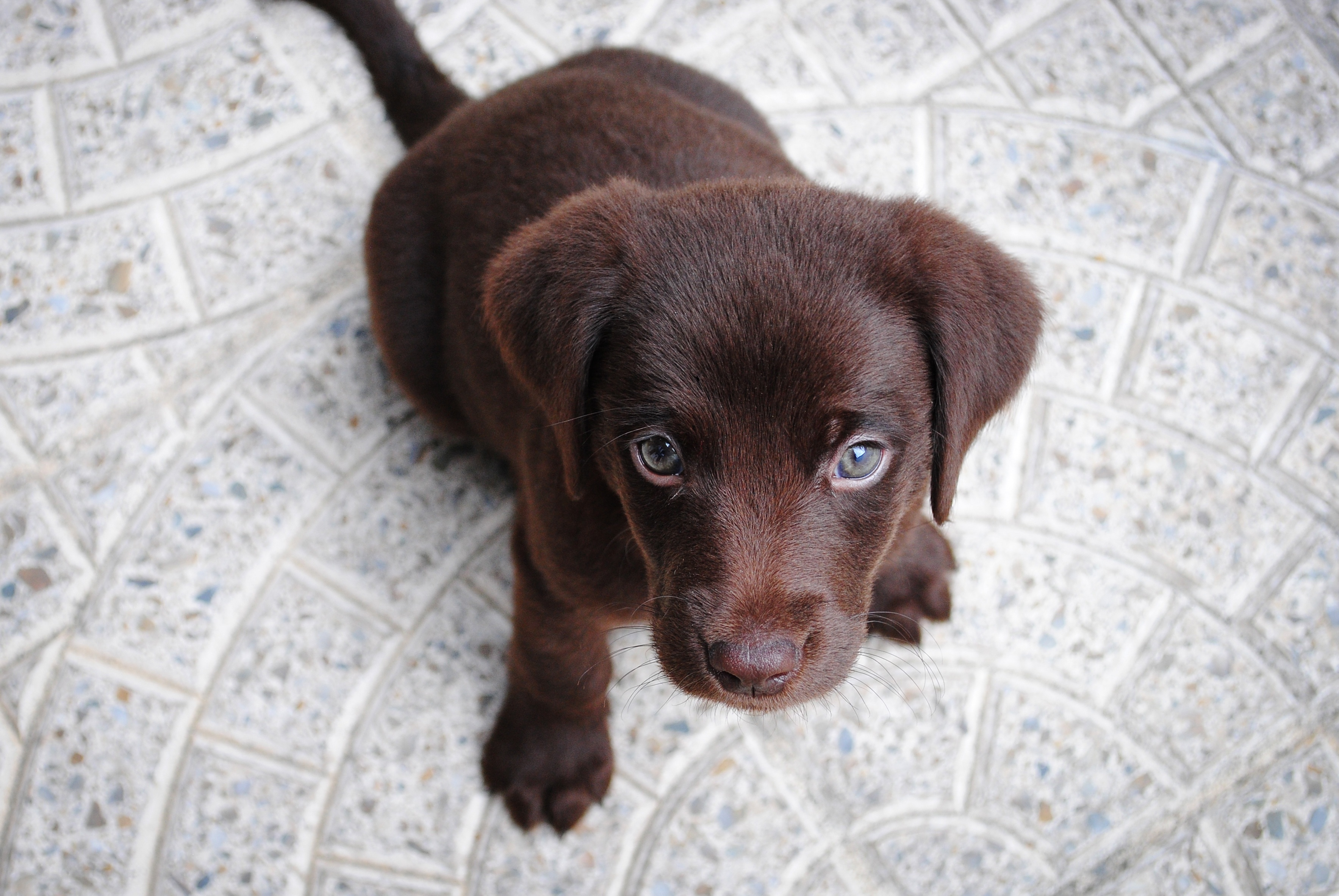 Photos Puppy Labrador Retriever Dogs From above animal Staring puppies dog Glance Animals