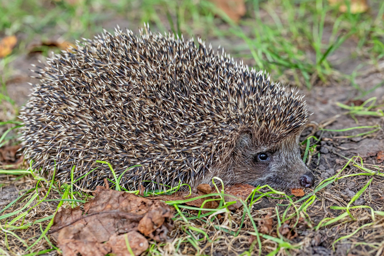 Fotos Igel hautnah ein Tier Tiere Nahaufnahme Großansicht