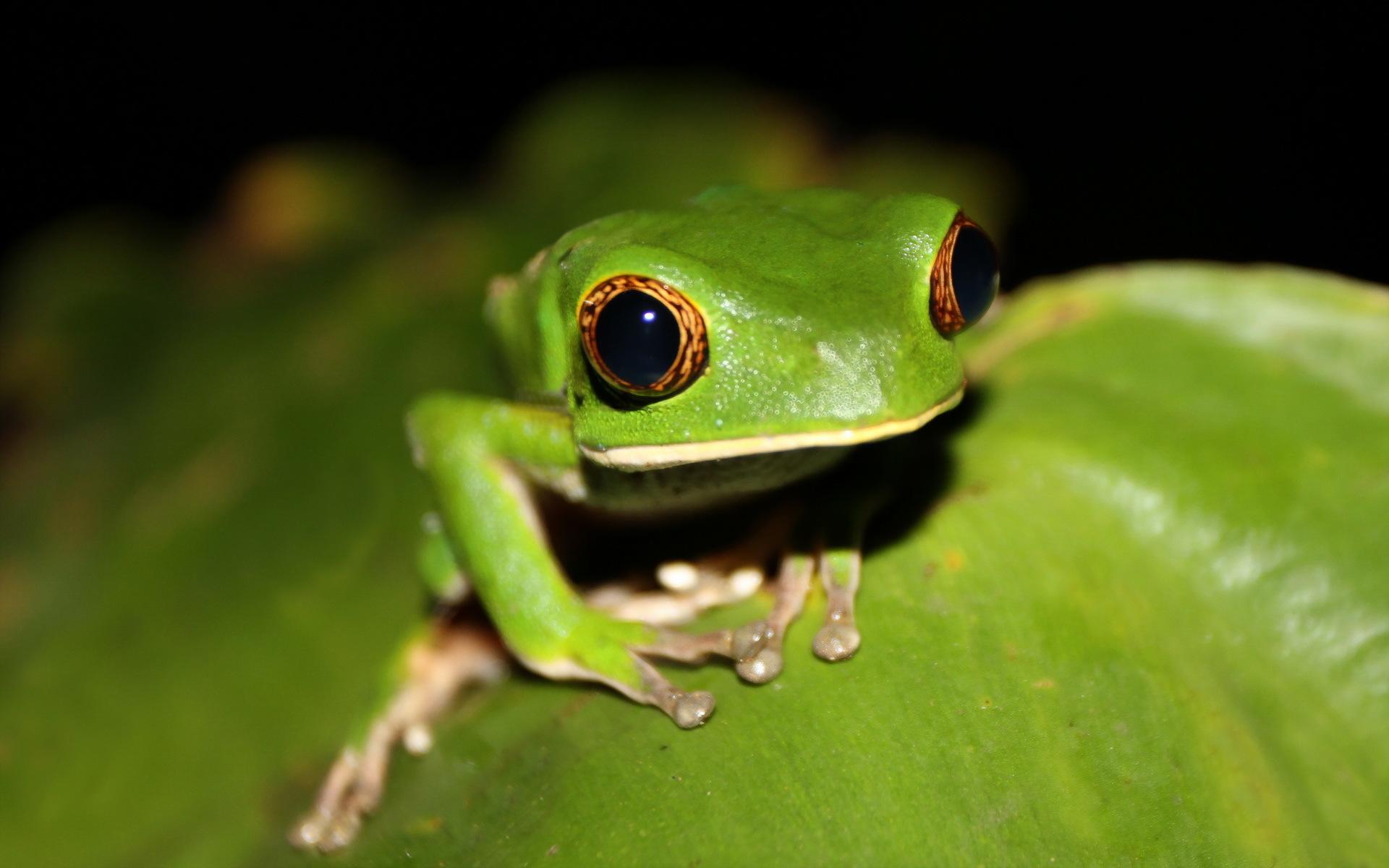 壁紙 カエル 目 緑 動物 ダウンロード 写真