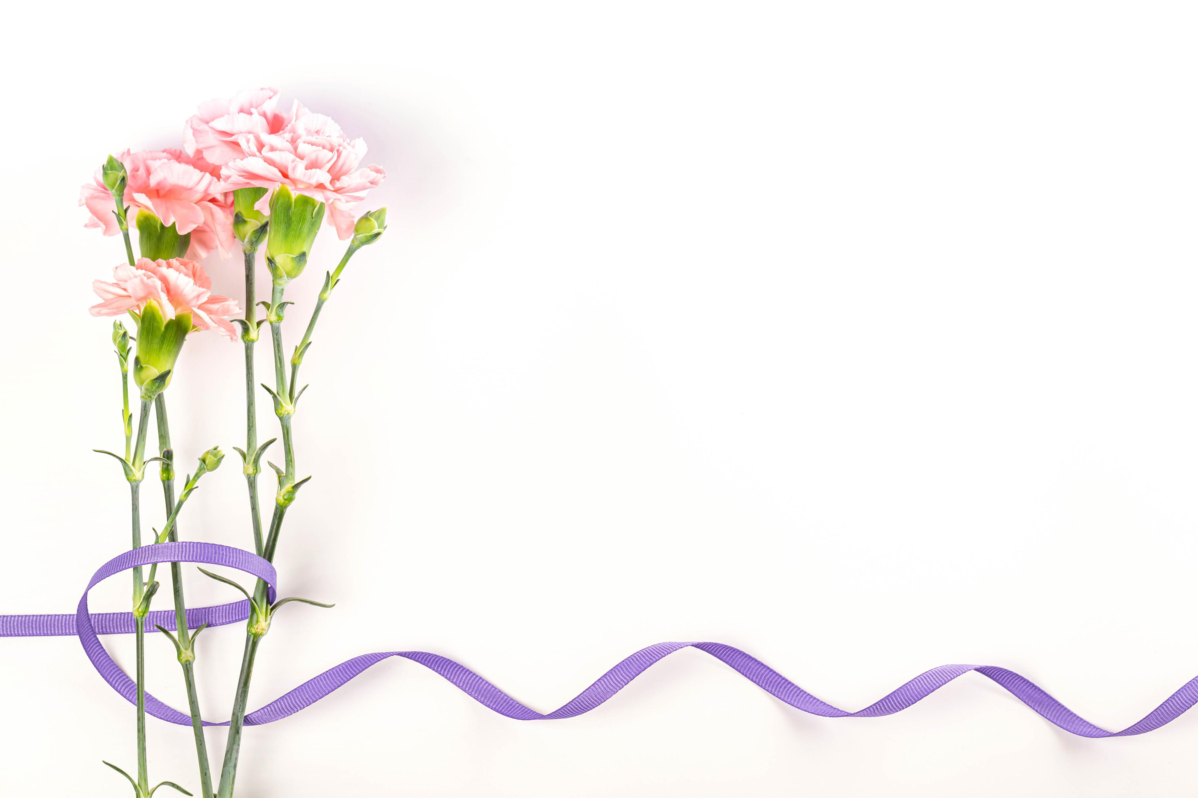 Bilder Blomster nellikslekta Bånd Gratulasjonskort Mal Hvit bakgrunn blomst Nelliker