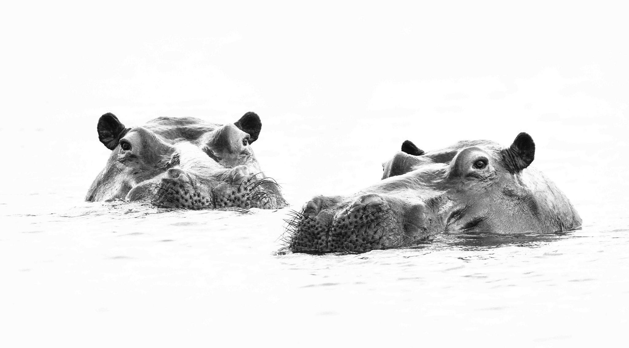 Photo hippopotamus Two Water Head animal Hippos 2 Animals