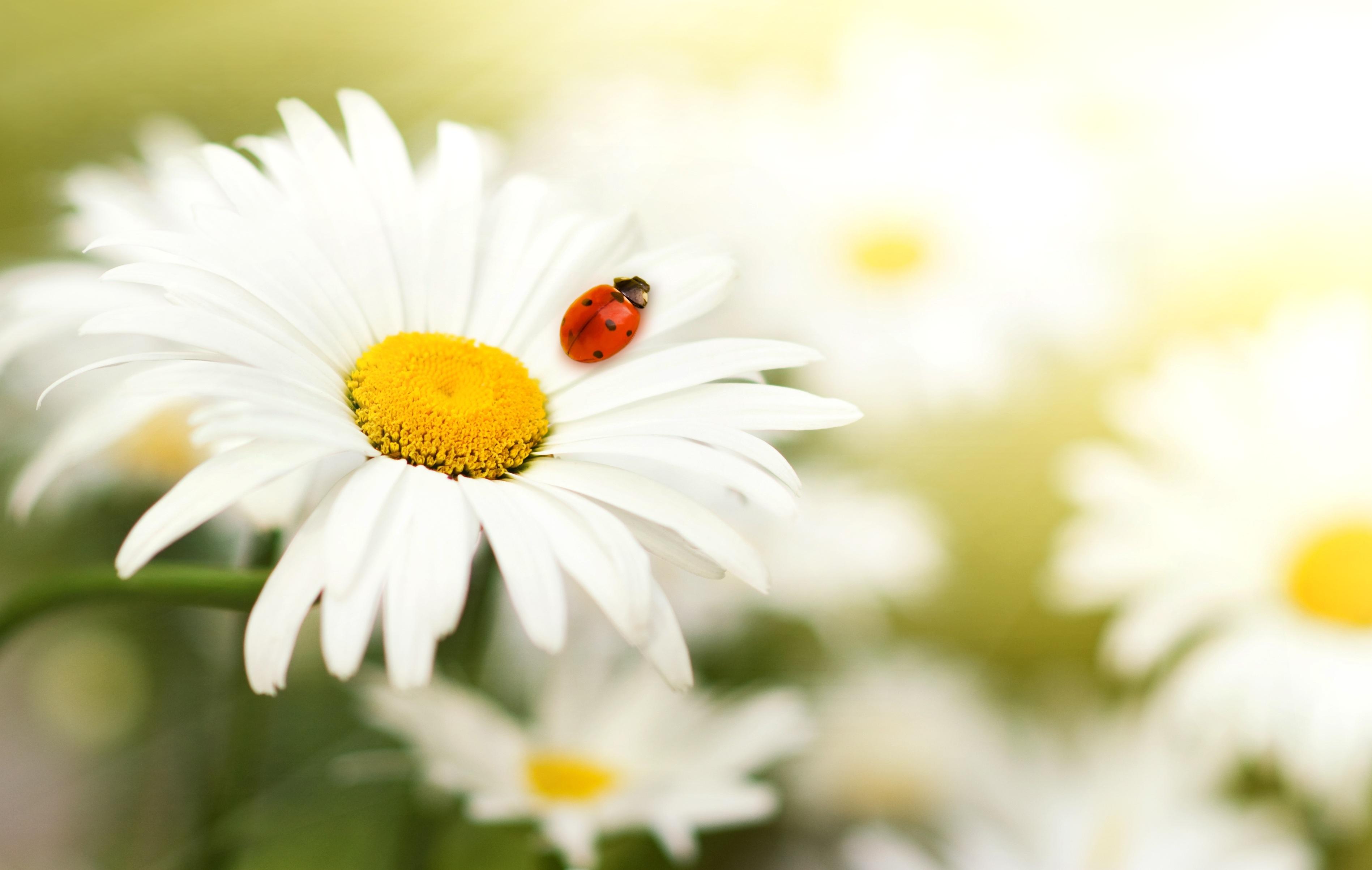 Fotos Marienkäfer Insekten Blumen Kamillen 3795x2406