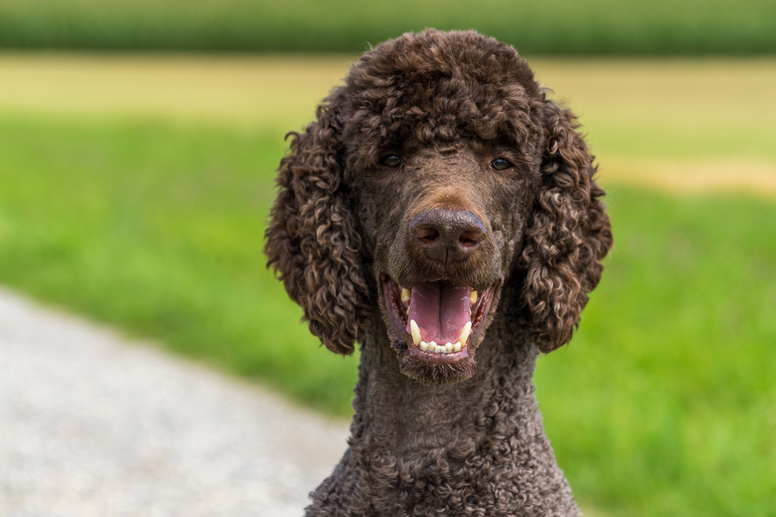 Picture Poodle Dogs blurred background Head Staring Animals dog Bokeh Glance animal