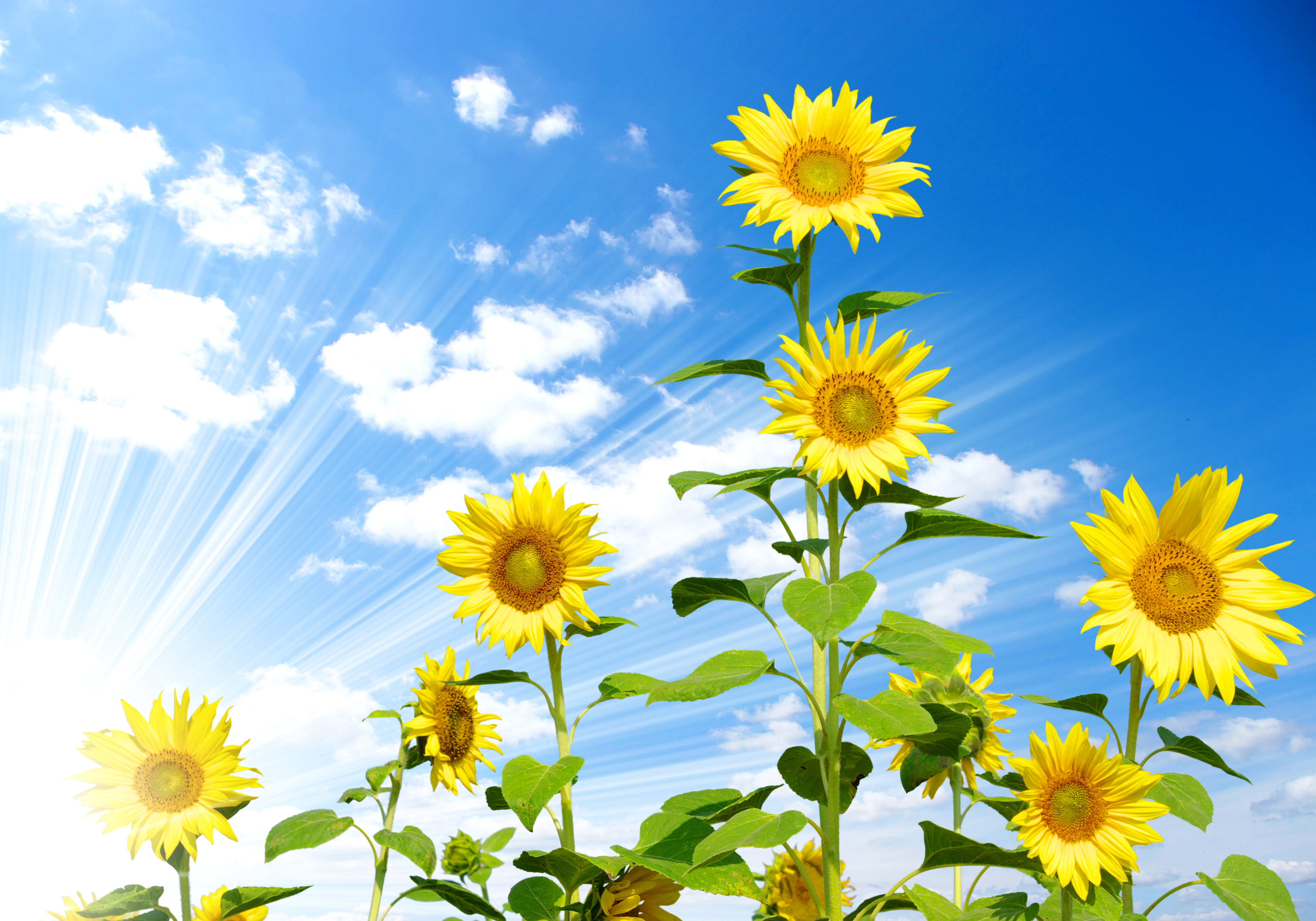 Desktop Wallpapers Rays Of Light Flowers Helianthus Clouds 4246x2972