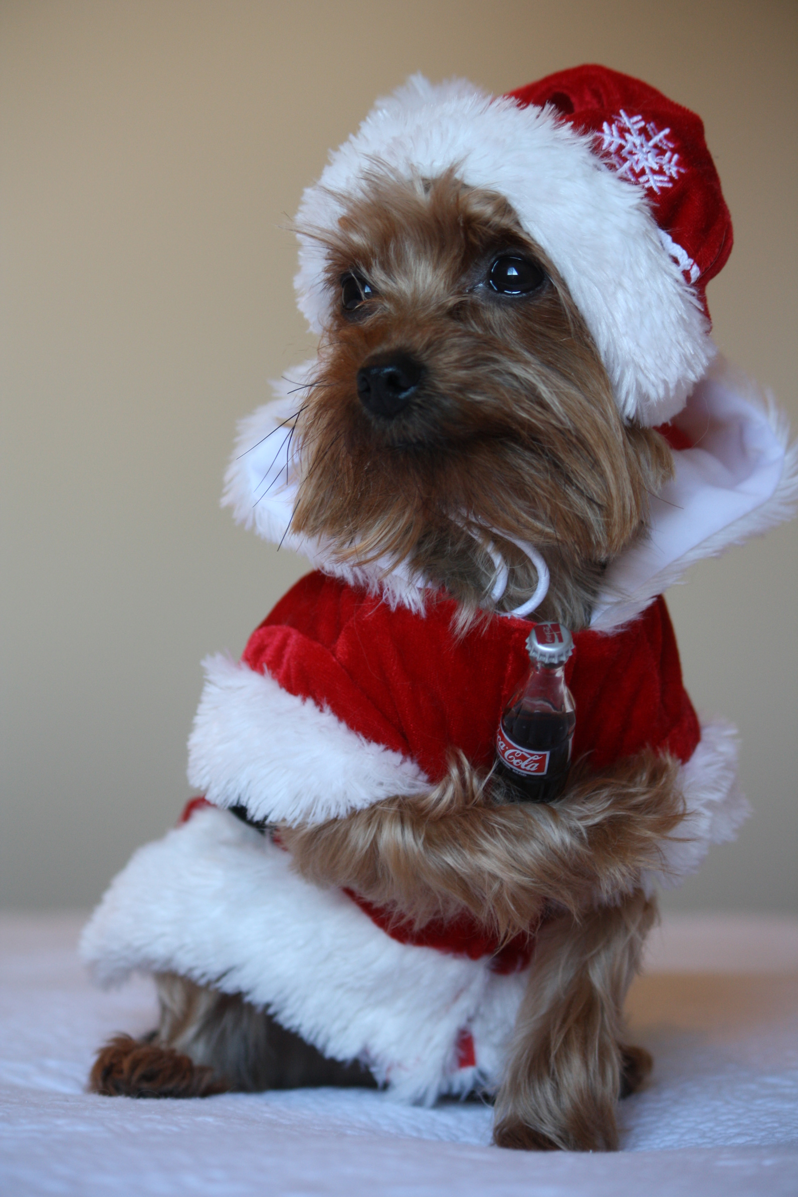 Images Coca-Cola Yorkshire terrier dog New year Winter hat Santa Claus Uniform Animals  for Mobile phone Dogs Christmas animal