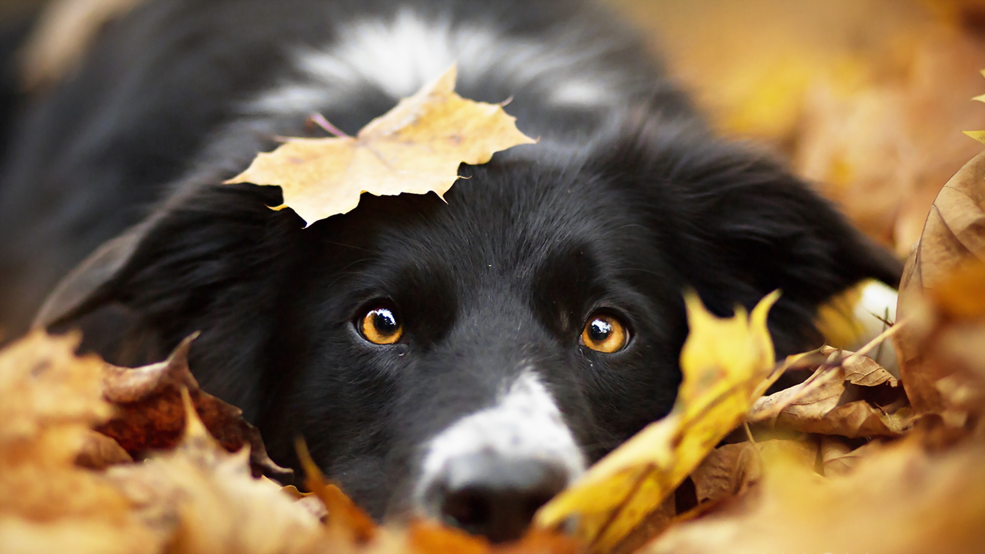 Images Border Collie Dogs Foliage Autumn Snout animal Closeup Staring dog Leaf Glance Animals