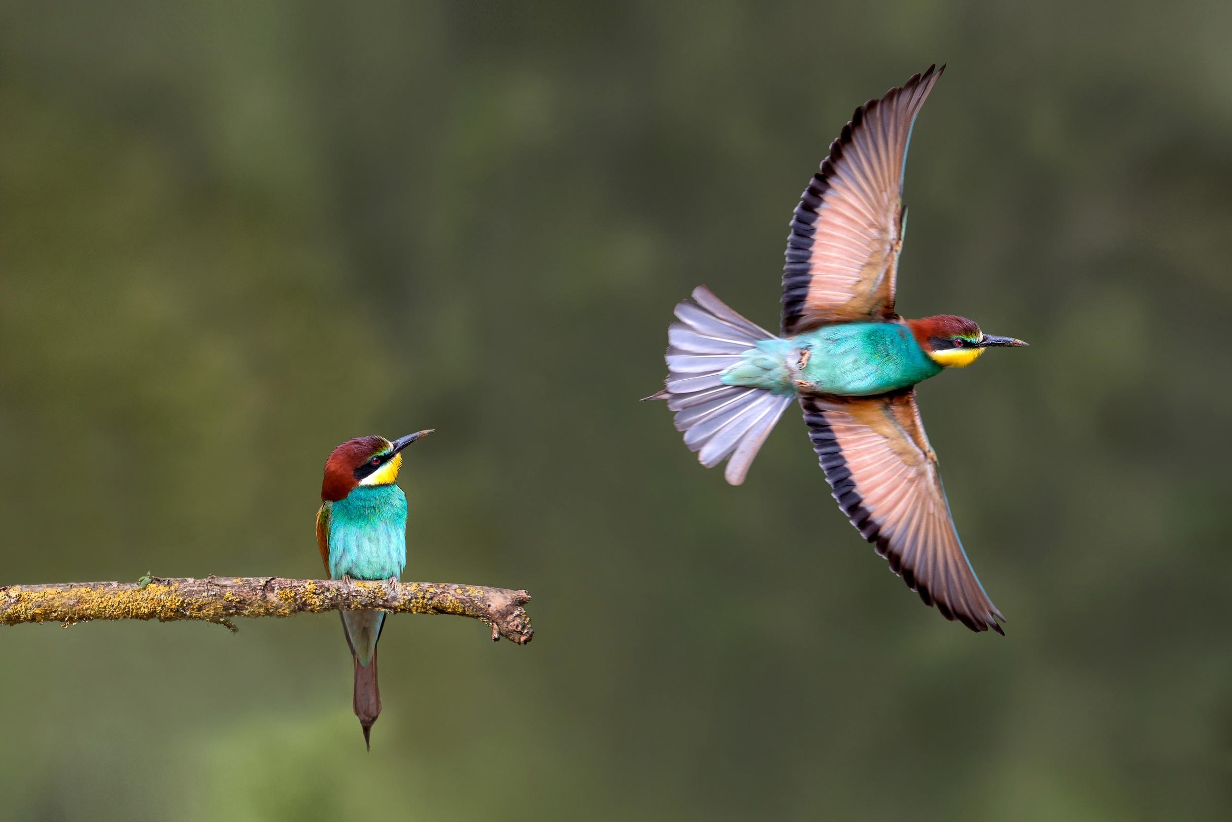 Images Birds Wings Merops 2 Flight Animals 2500x1667 bird Two animal