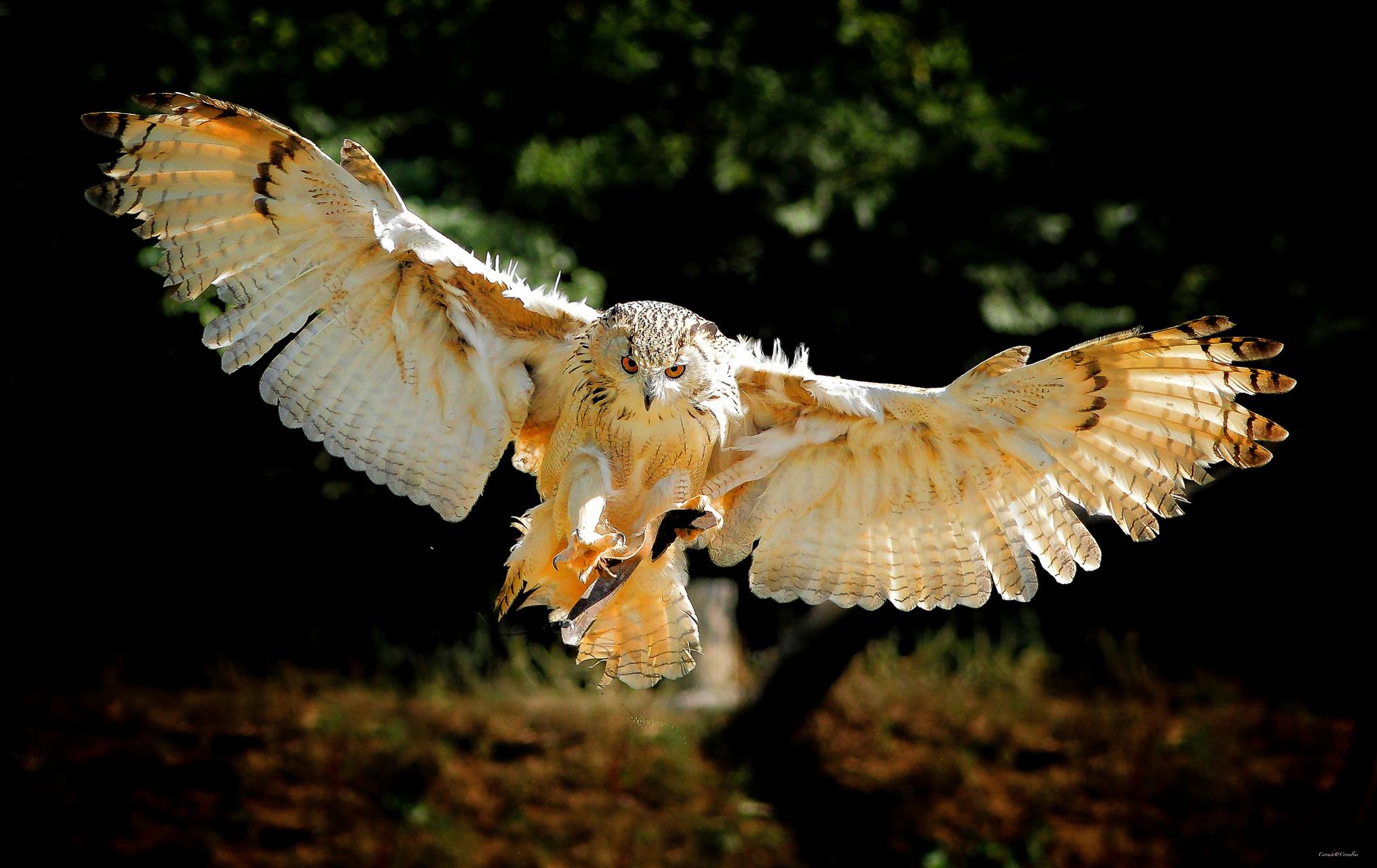 Hintergrundbilder Eulen Vögel Flügel Flug Tiere Vogel ein Tier