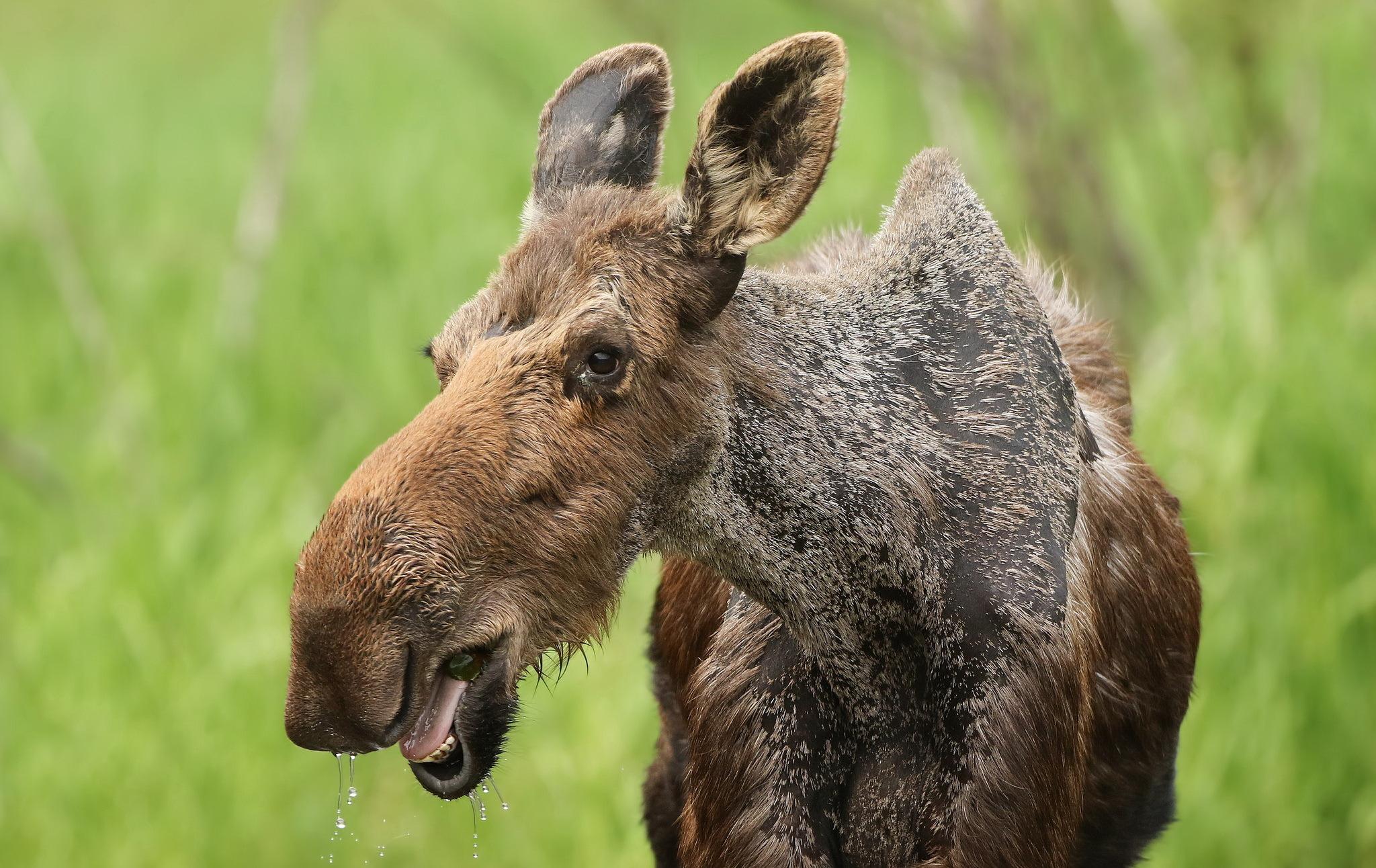 Foto Elch Kopf ein Tier 2048x1292 Tiere