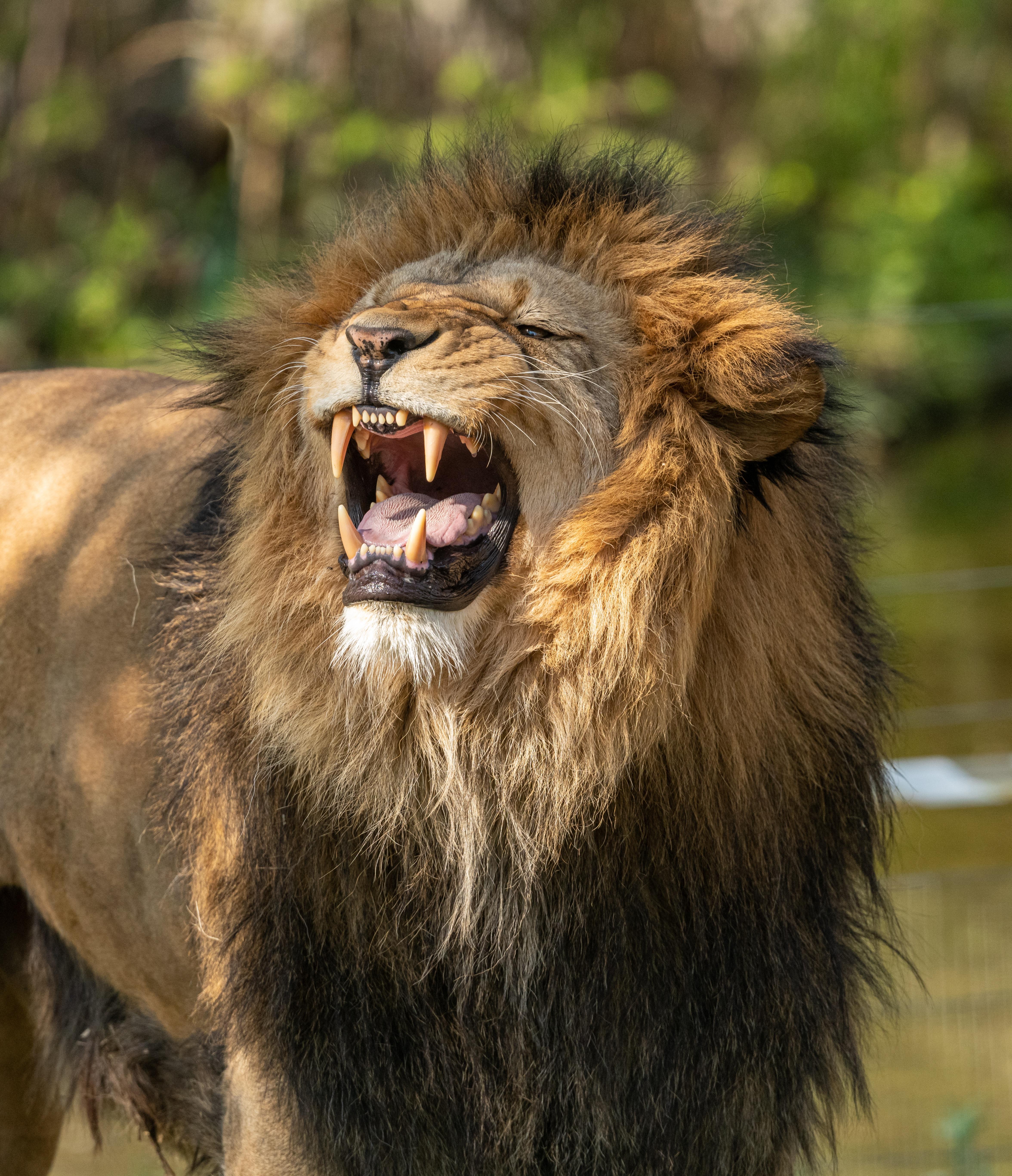 Photo Lions Roar animal 4704x5466 lion angry Animals