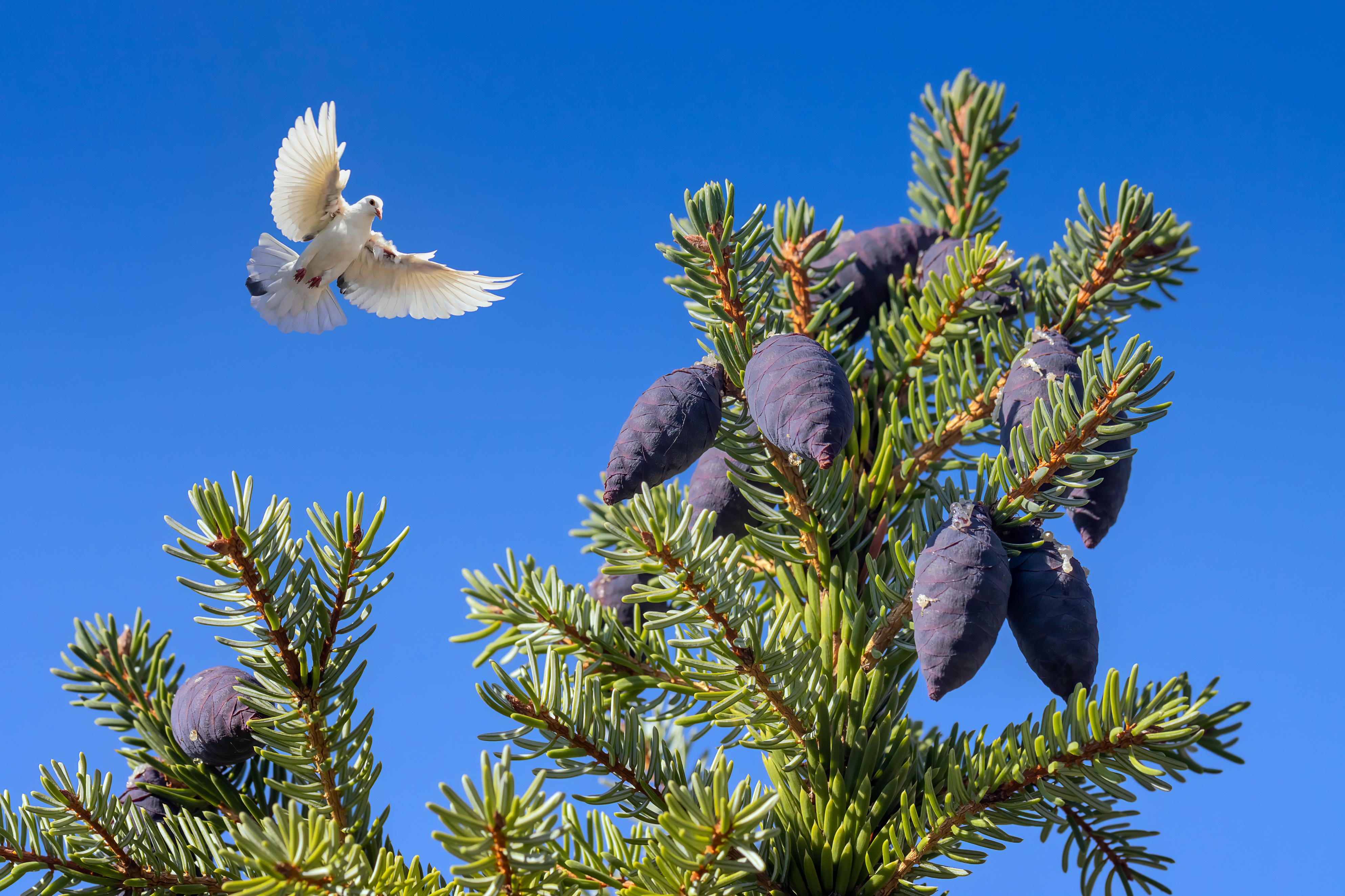 Desktop Wallpapers Birds pigeon Flight Branches Conifer cone animal bird Pigeons Pine cone Animals
