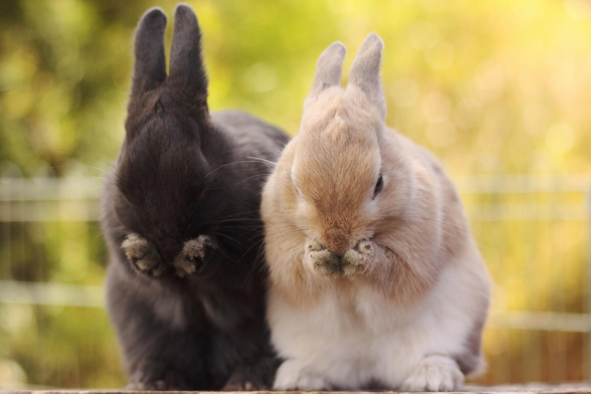 壁紙 ネズミ目 ウサギ 動物 ダウンロード 写真
