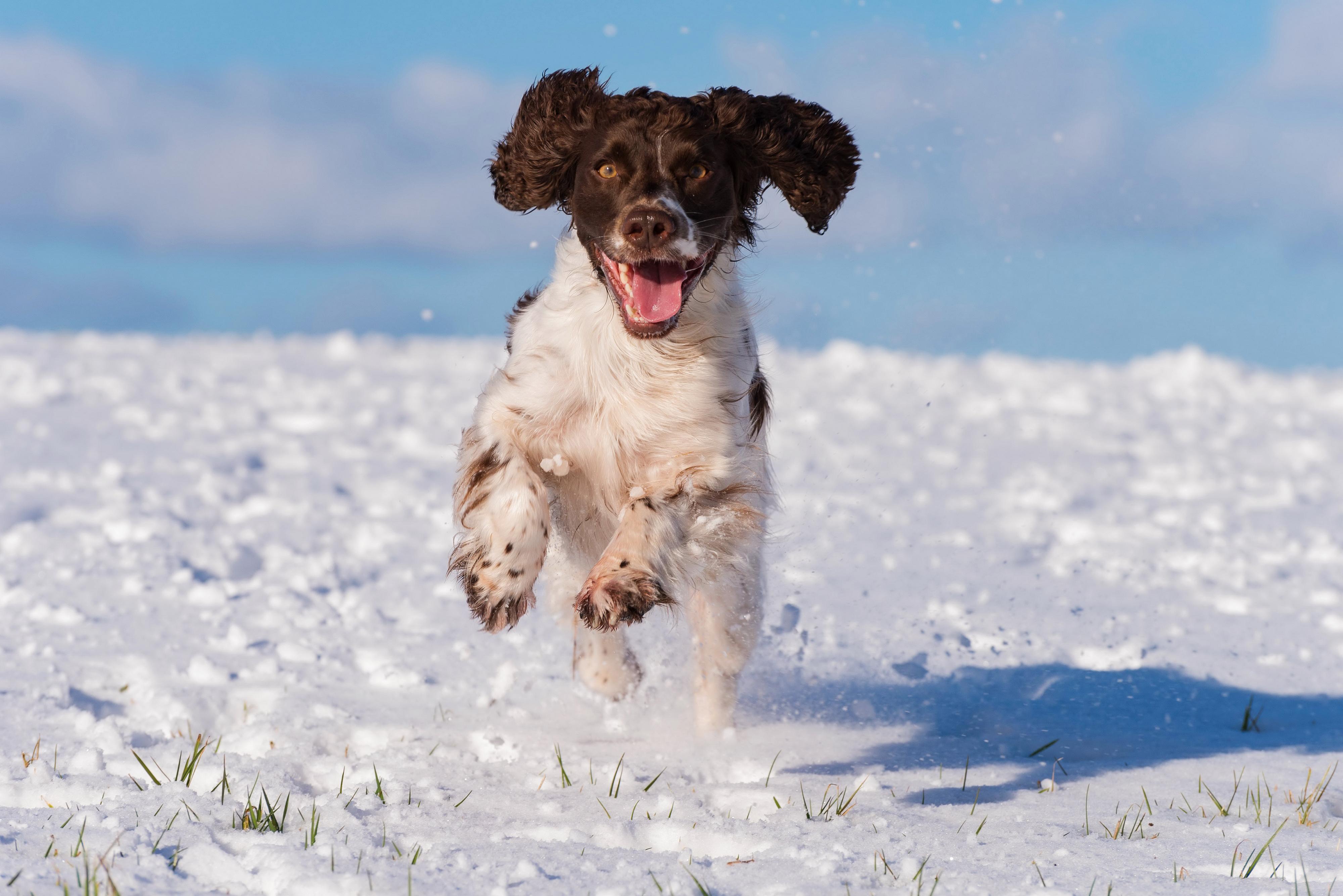 Hintergrundbilder Spaniel Hunde Laufsport cocker spaniel Schnee Tiere Lauf Laufen