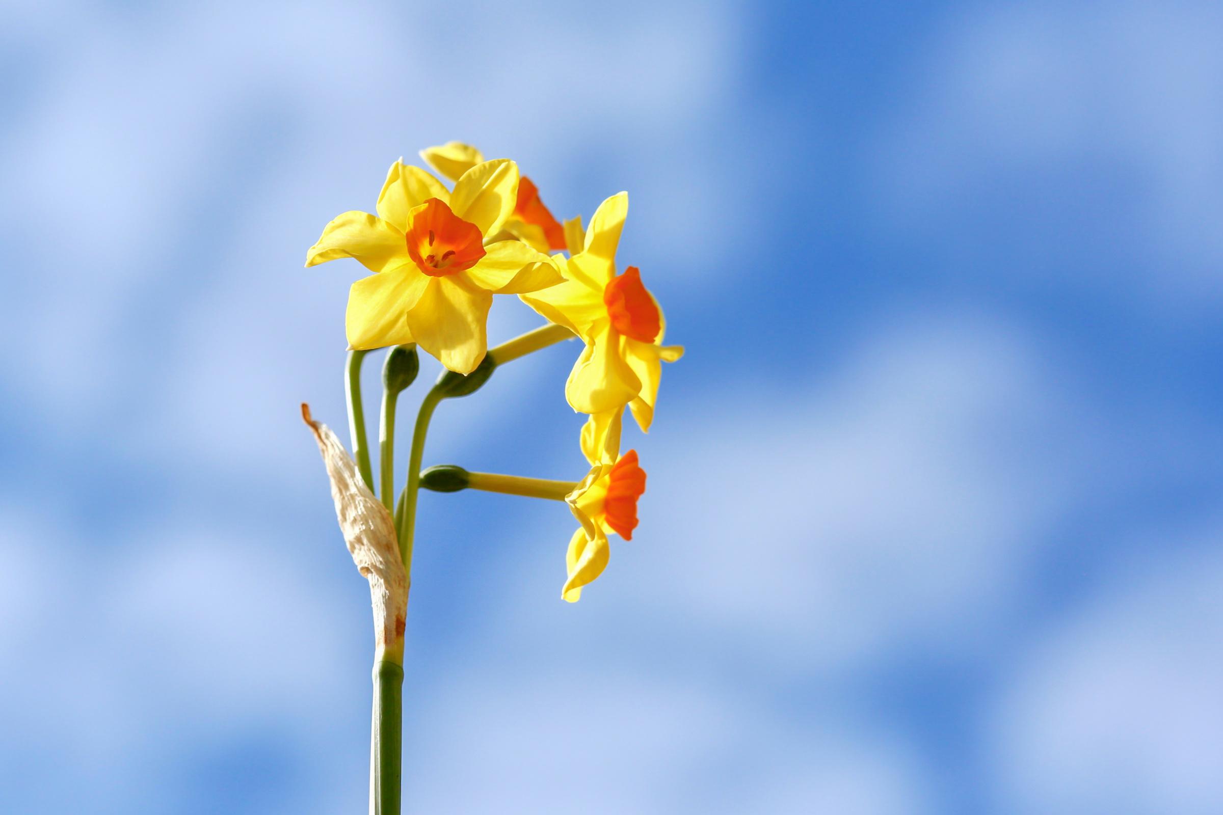 Bilder Gelb Blumen Narzissen hautnah 2400x1600 Blüte Nahaufnahme Großansicht