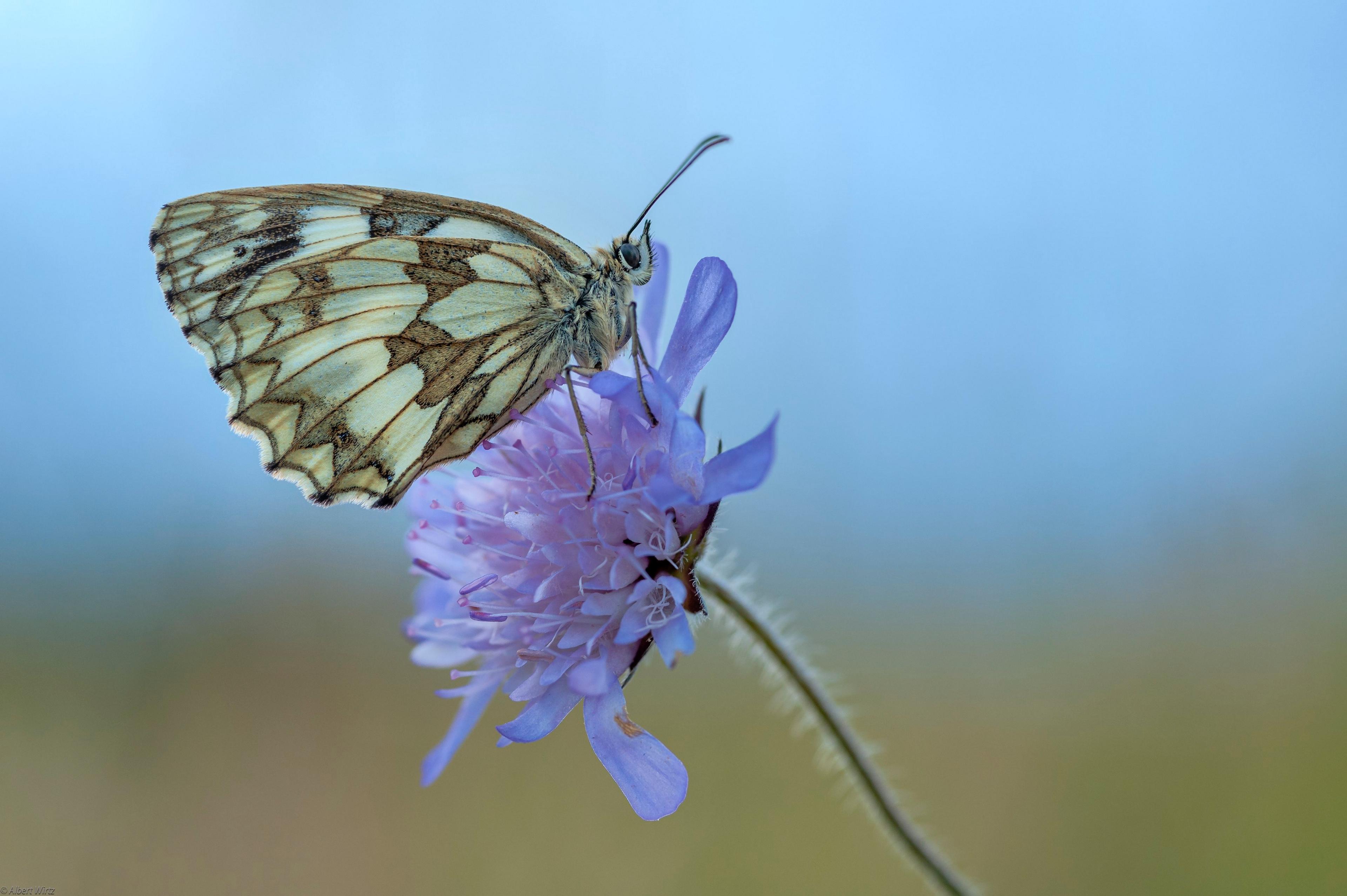 Bilder Insekten Schmetterling Marbled White Tiere Großansicht 3840x2556 Schmetterlinge hautnah ein Tier Nahaufnahme