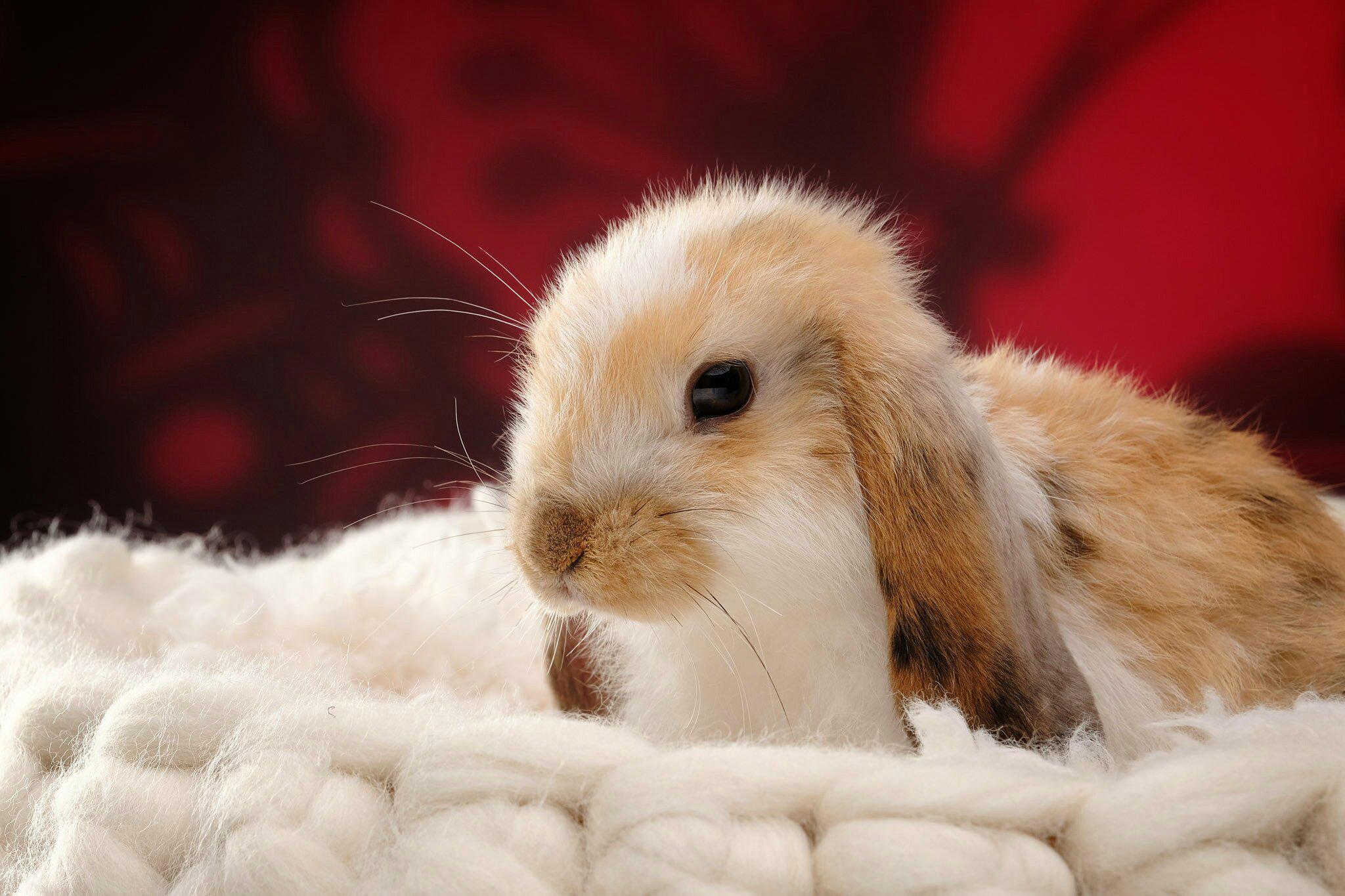 Fotos Kaninchen Kopf Tiere ein Tier