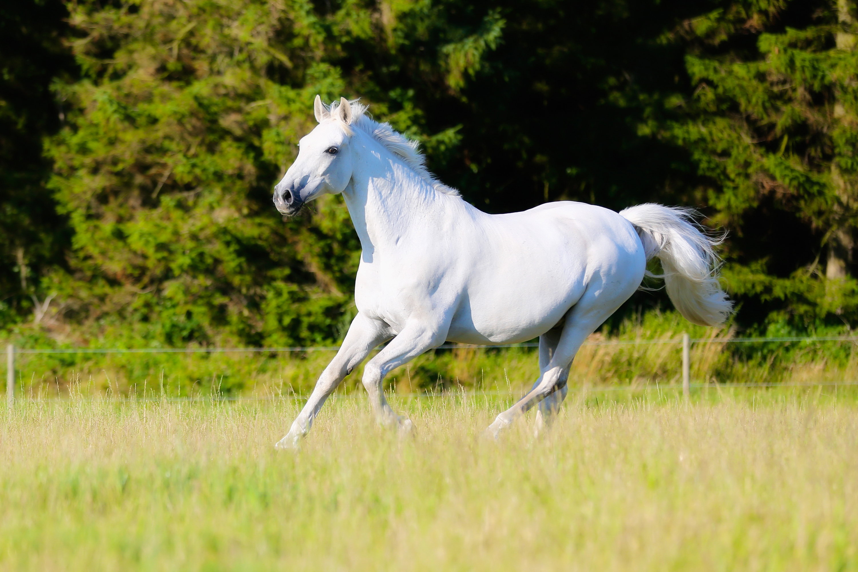 Horses White Run 493798