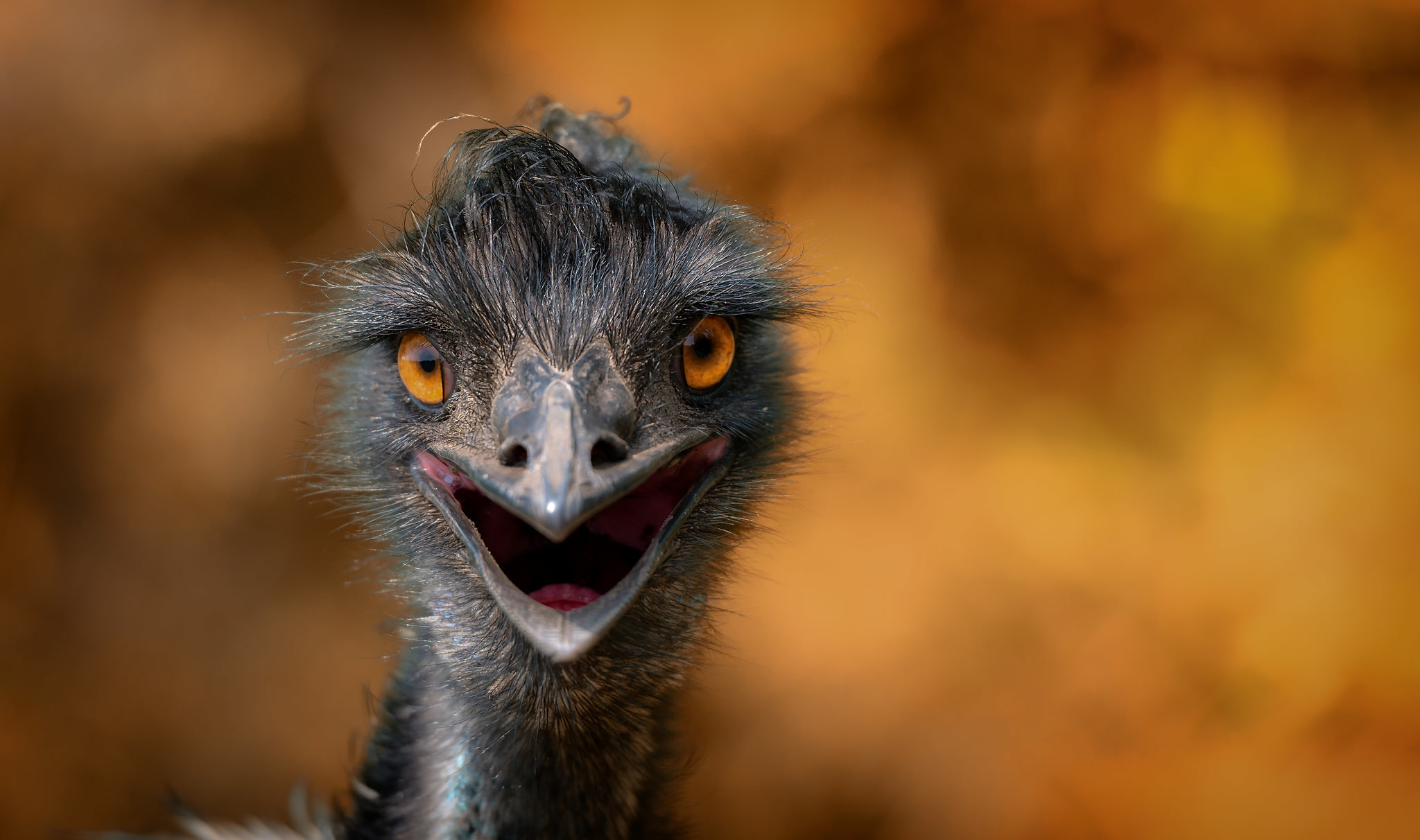 Wallpaper bird Ostriches blurred background Head Closeup Staring Animals Birds ostrich Bokeh Glance animal