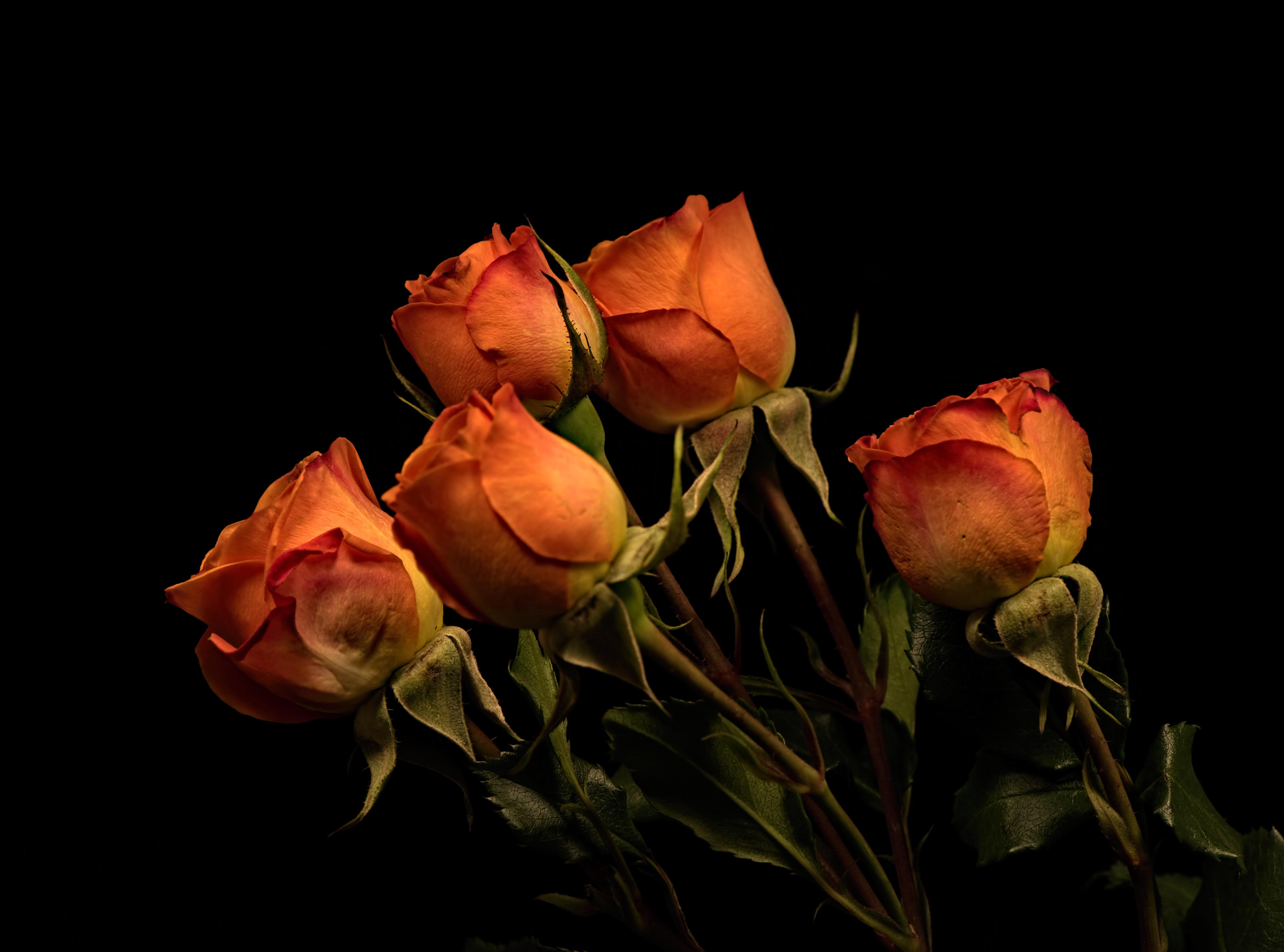 Foton Rosor Orange Blommor Svart bakgrund 4700x3485 ros blomma