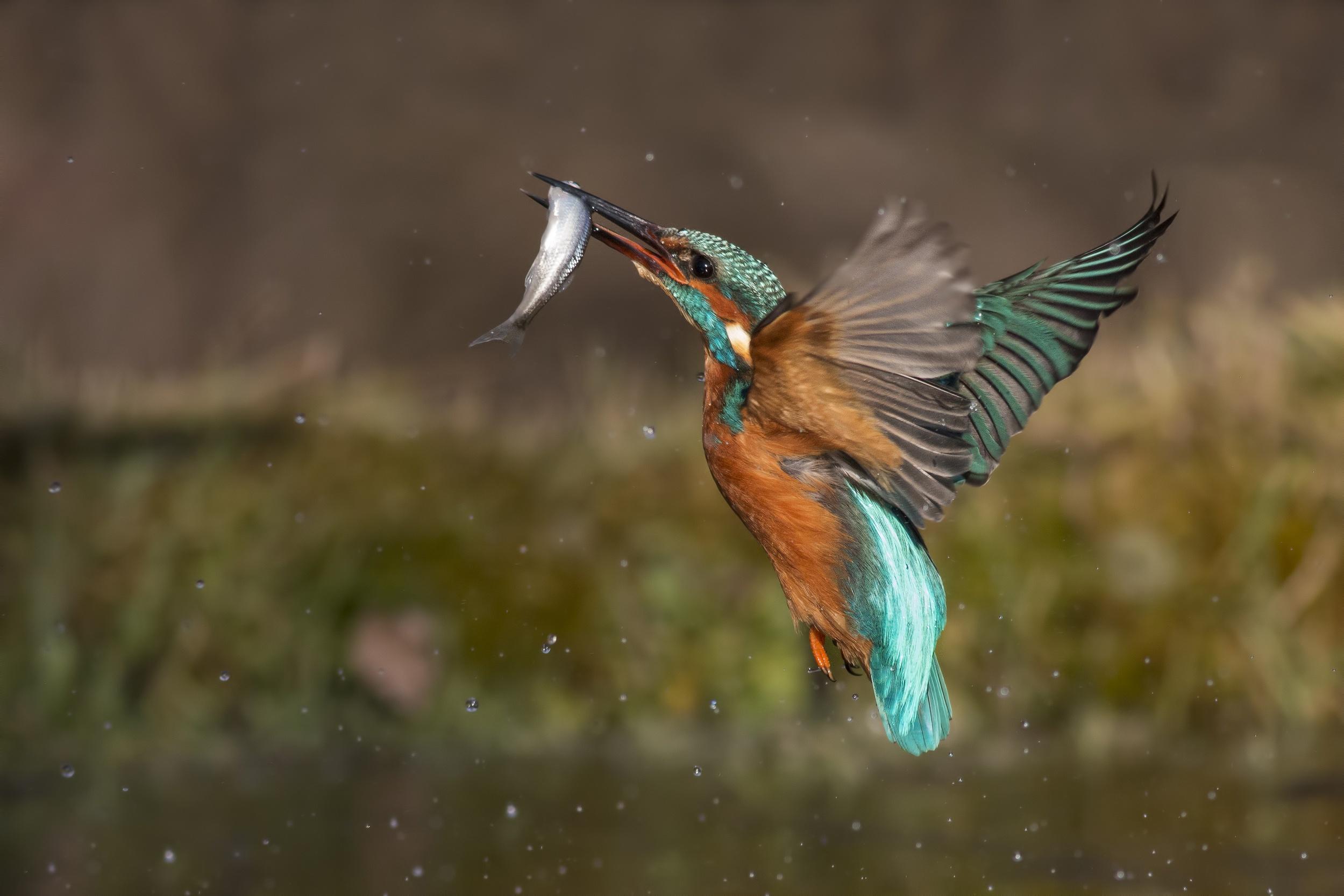Pictures Common Kingfisher Fish Birds hunt Flight animal 2499x1667 bird Hunting Animals