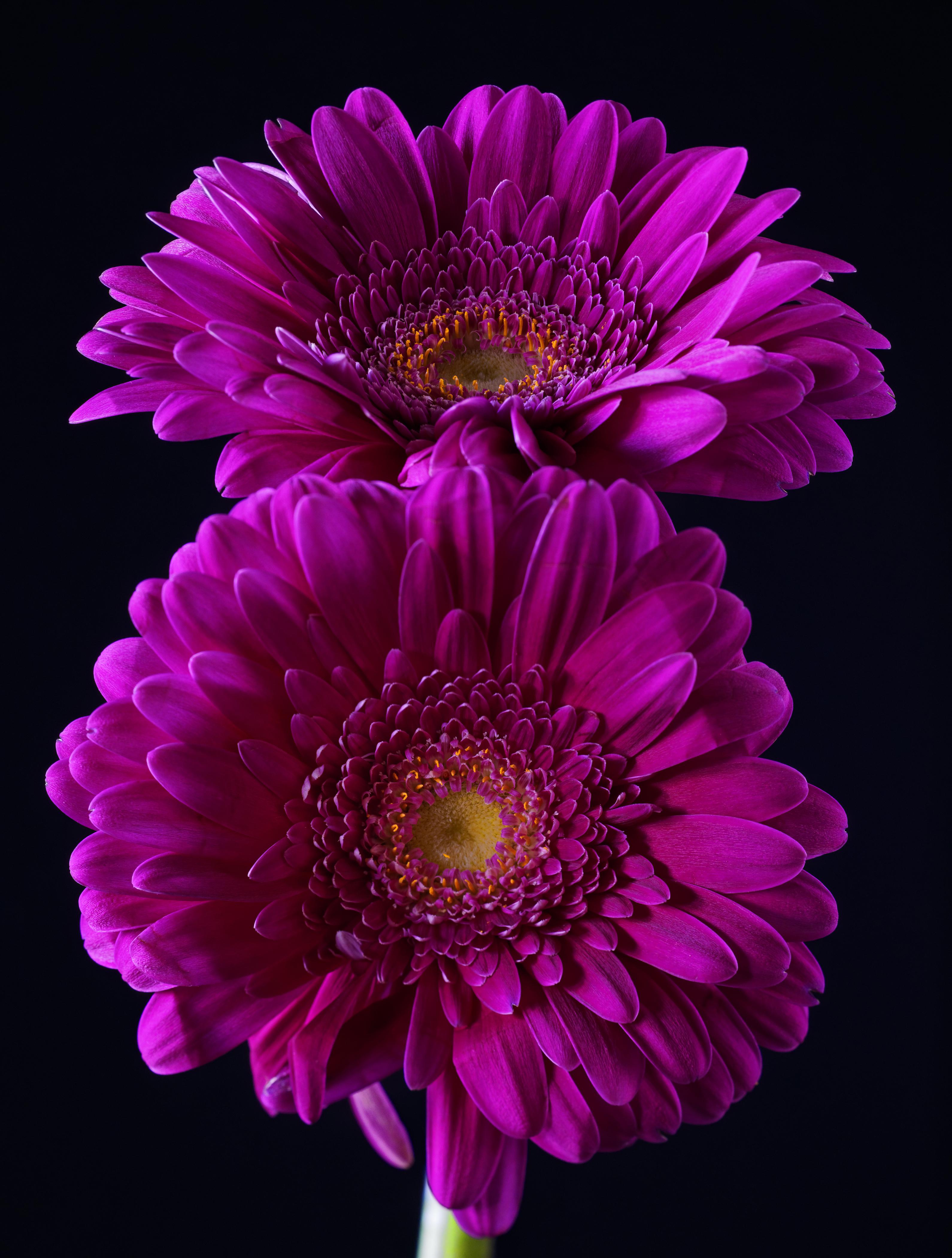 Bilder 2 Violett Gerbera Blumen Großansicht Schwarzer Hintergrund 3180x4200 Zwei