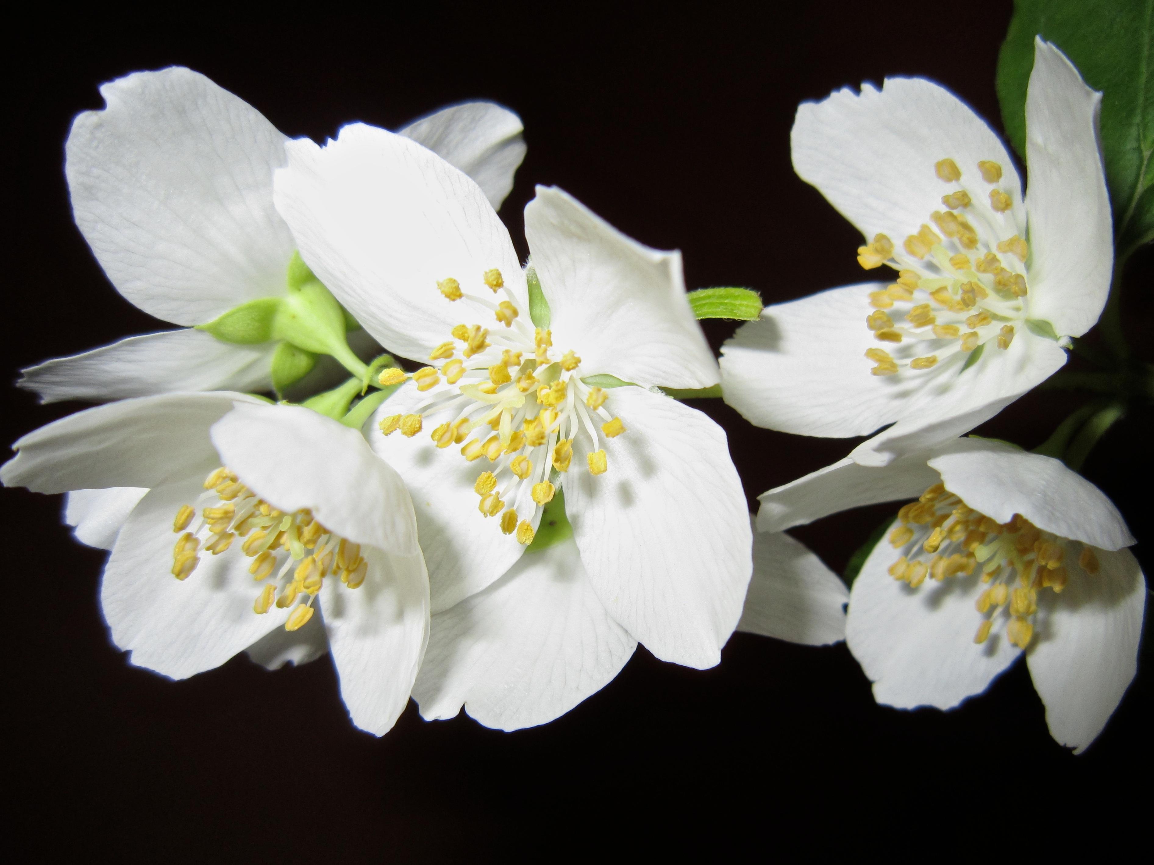 Fotos Jasminum Weiß Blüte Großansicht Schwarzer Hintergrund 3786x2839 Blumen hautnah Nahaufnahme