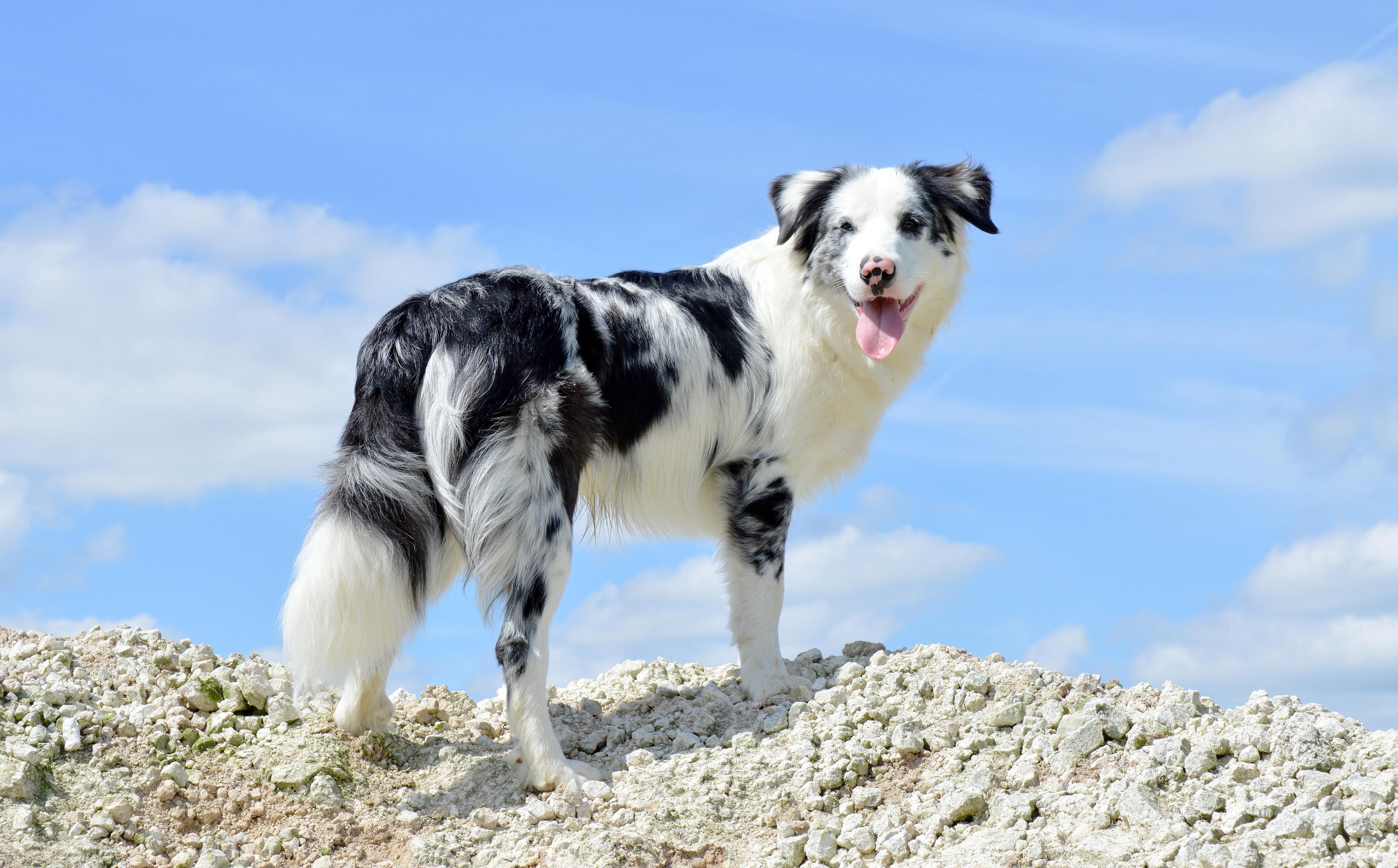 Bilder von Australian Shepherd hund Blick ein Tier 3840x2385 Hunde Tiere Starren