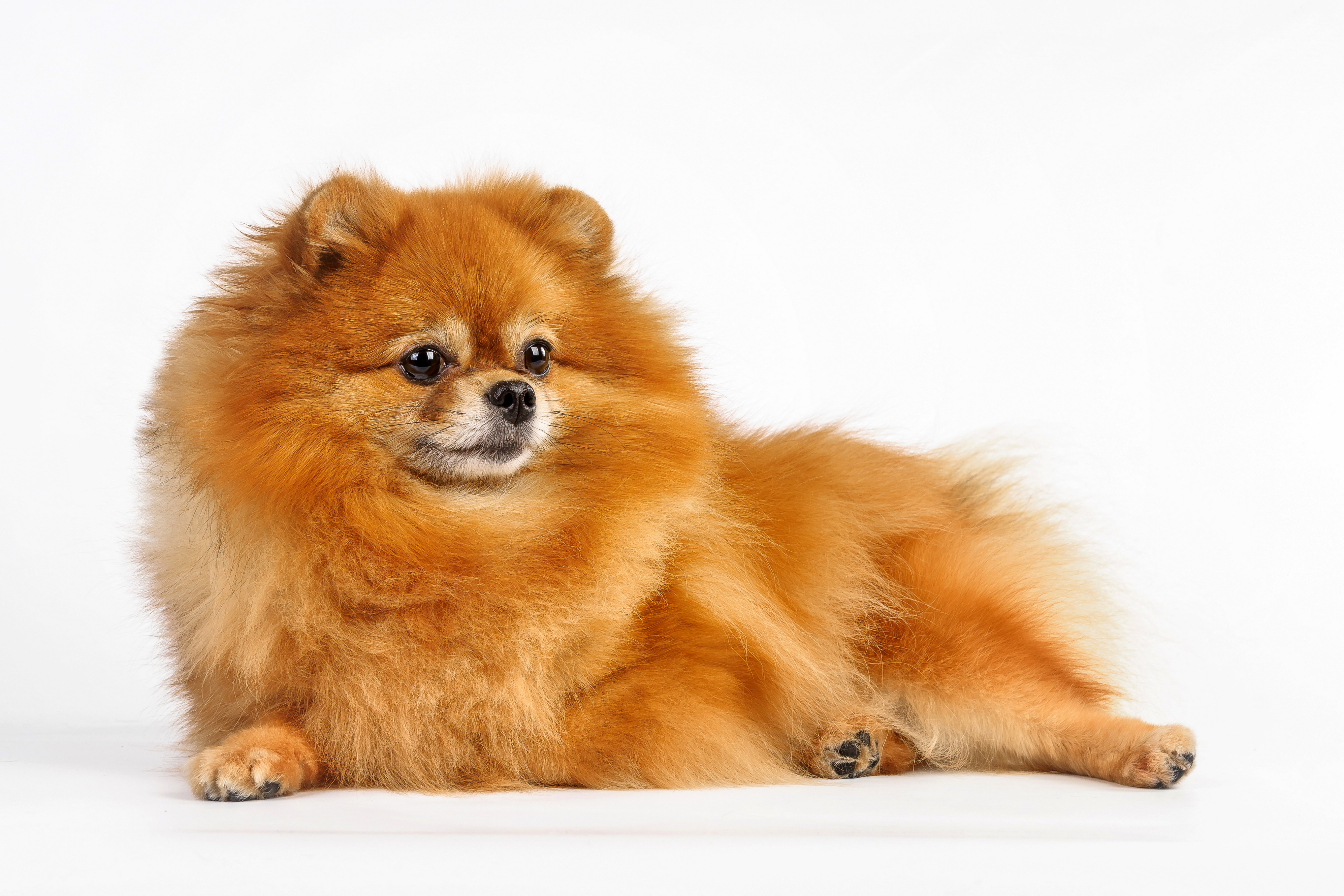 Pictures Spitz dog red orange Animals 3990x2660 Dogs Ginger color animal