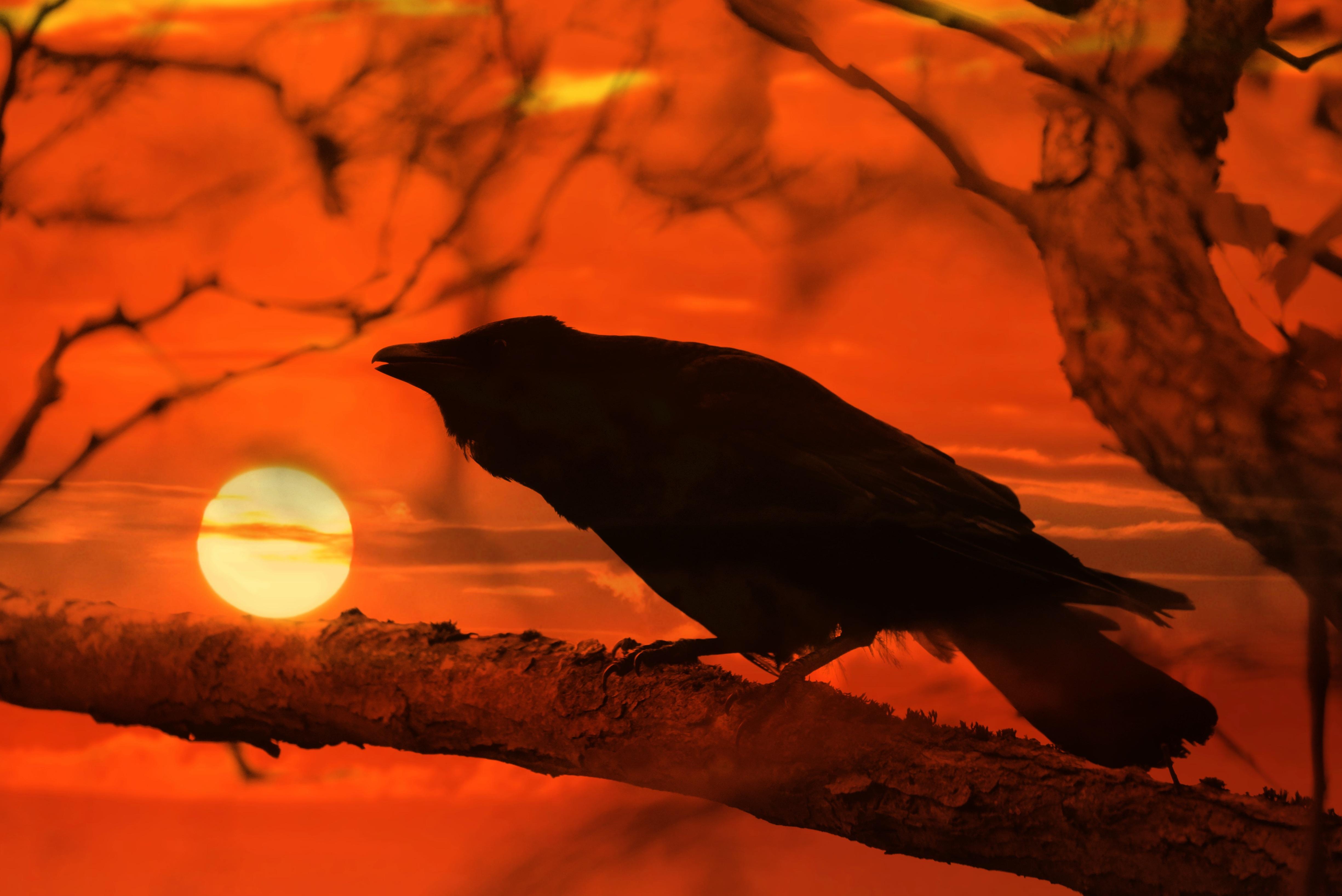 Bilder von Aaskrähe Sonne Sonnenaufgänge und Sonnenuntergänge Ast ein Tier 4900x3271 Tiere