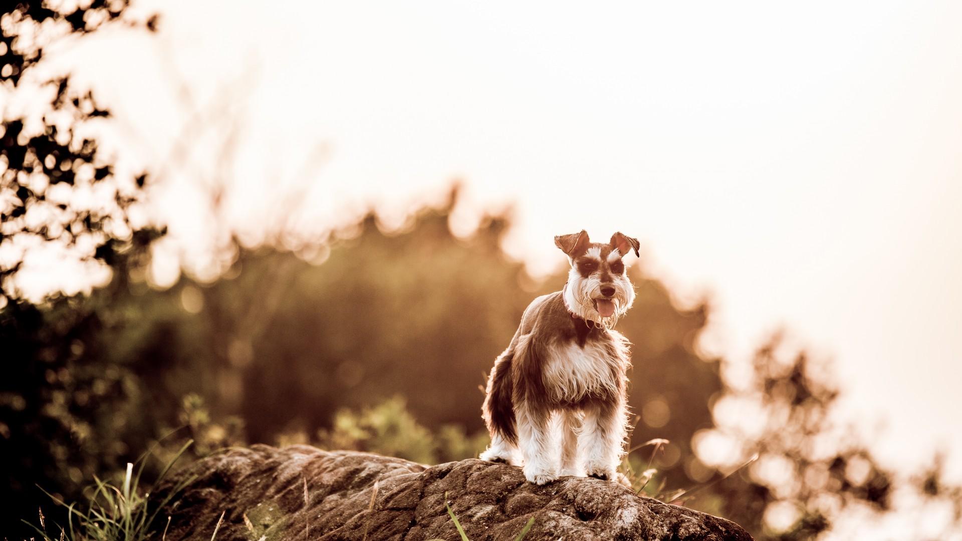 壁紙 イヌ ミニチュア シュナウザー 動物 ダウンロード 写真