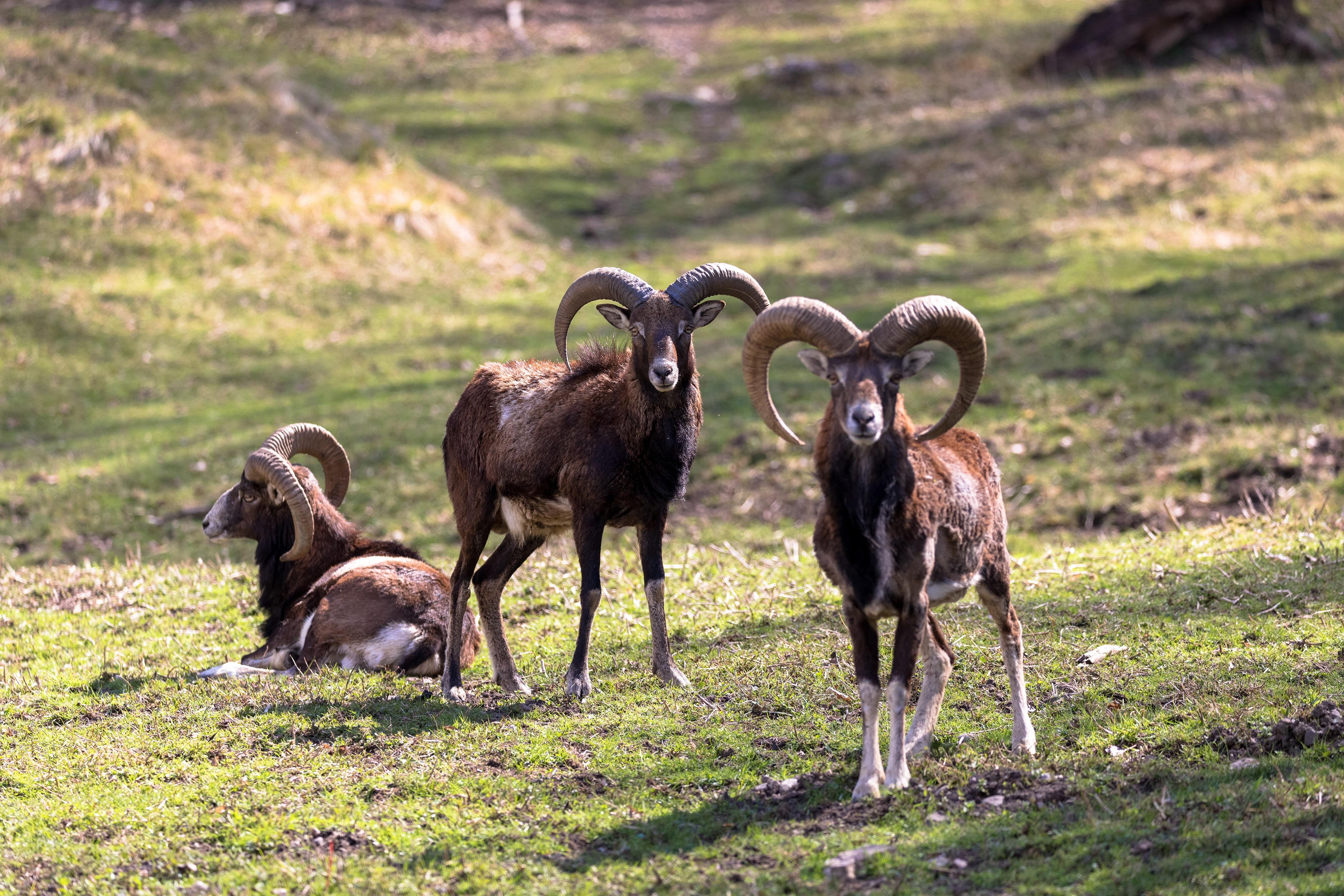 Foto Widder Horn Moufflon Gras Drei 3 Tiere ein Tier