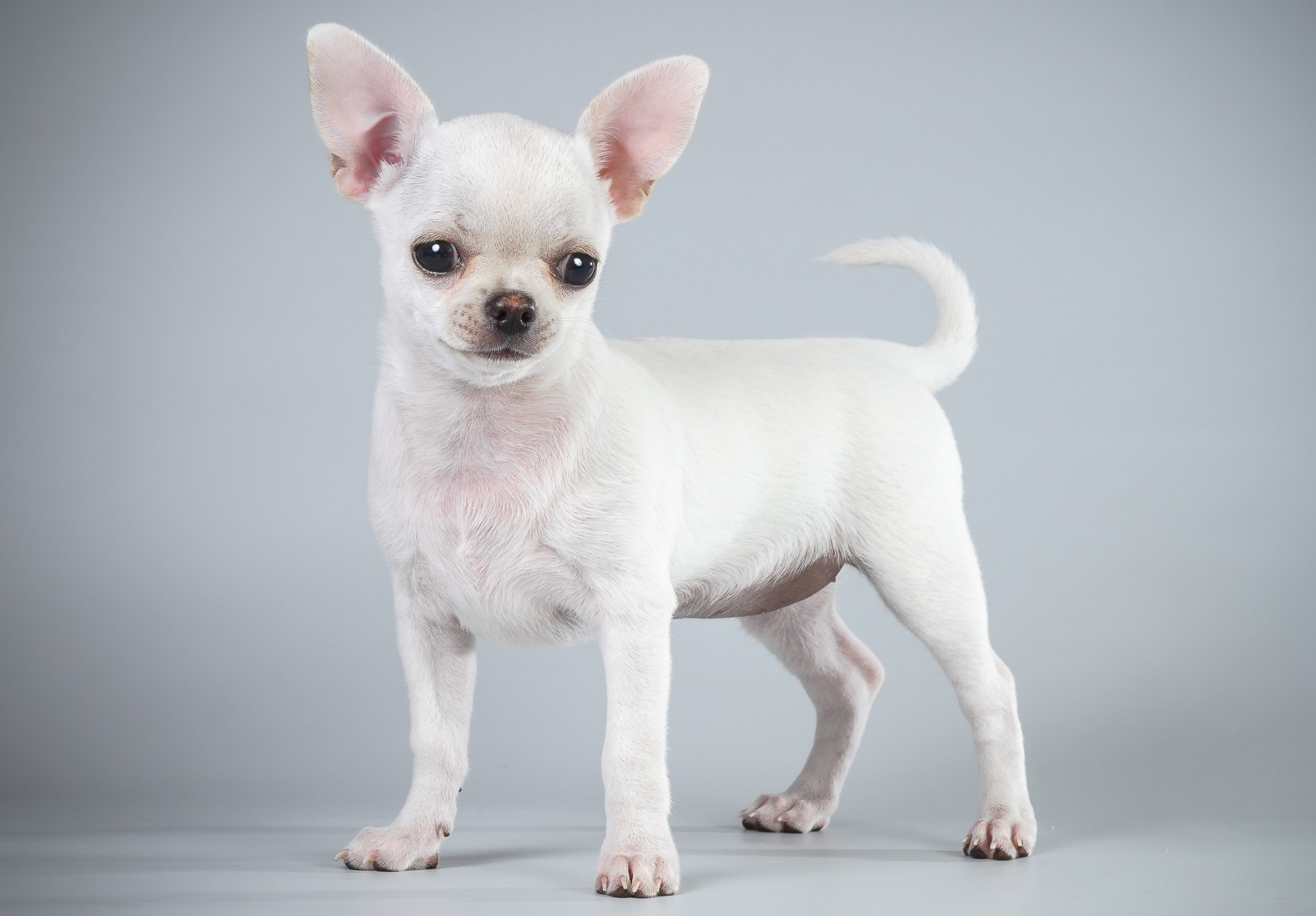Pictures Chihuahua Dog White Animal