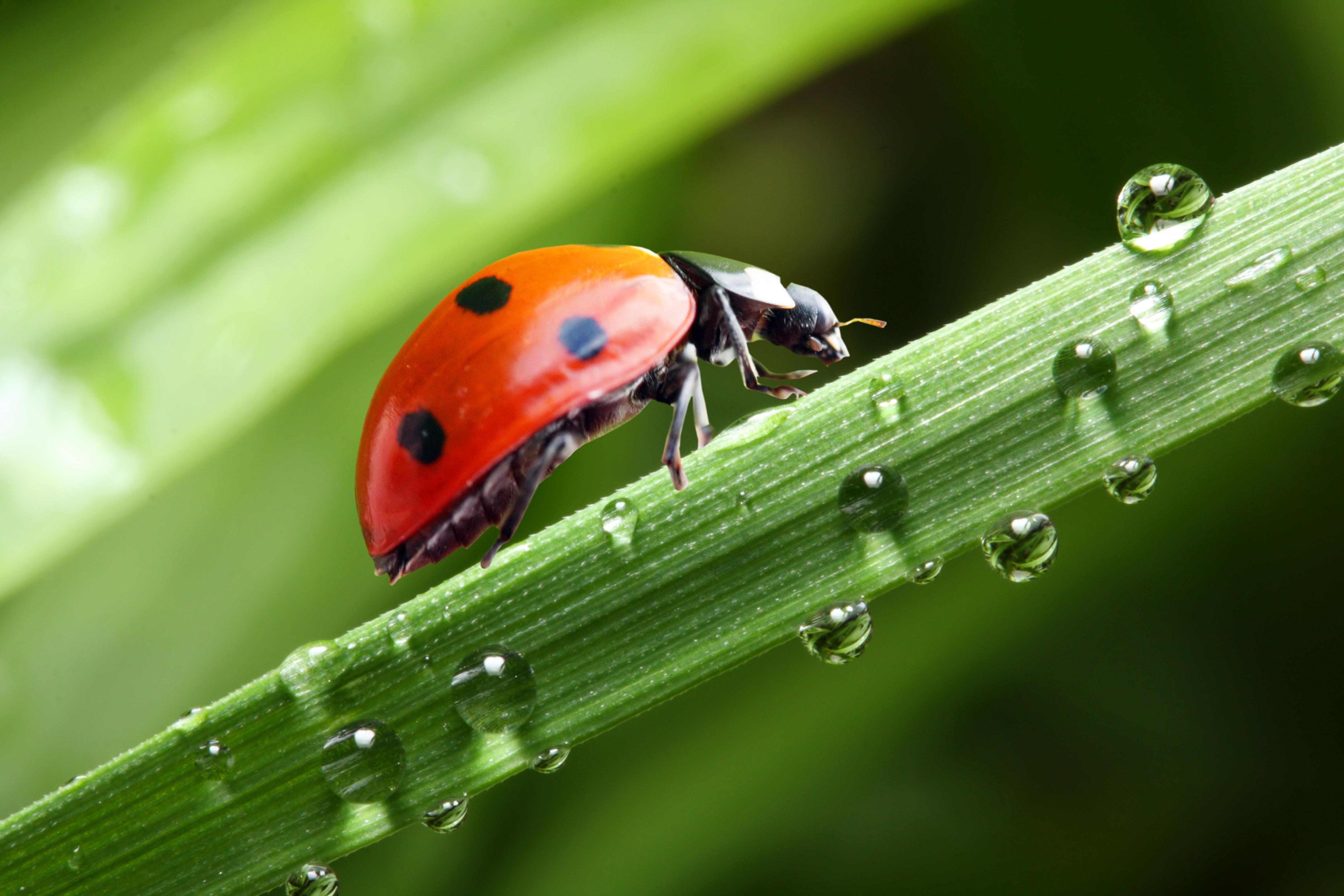,瓢虫,特寫,微距攝影,水滴,動物,