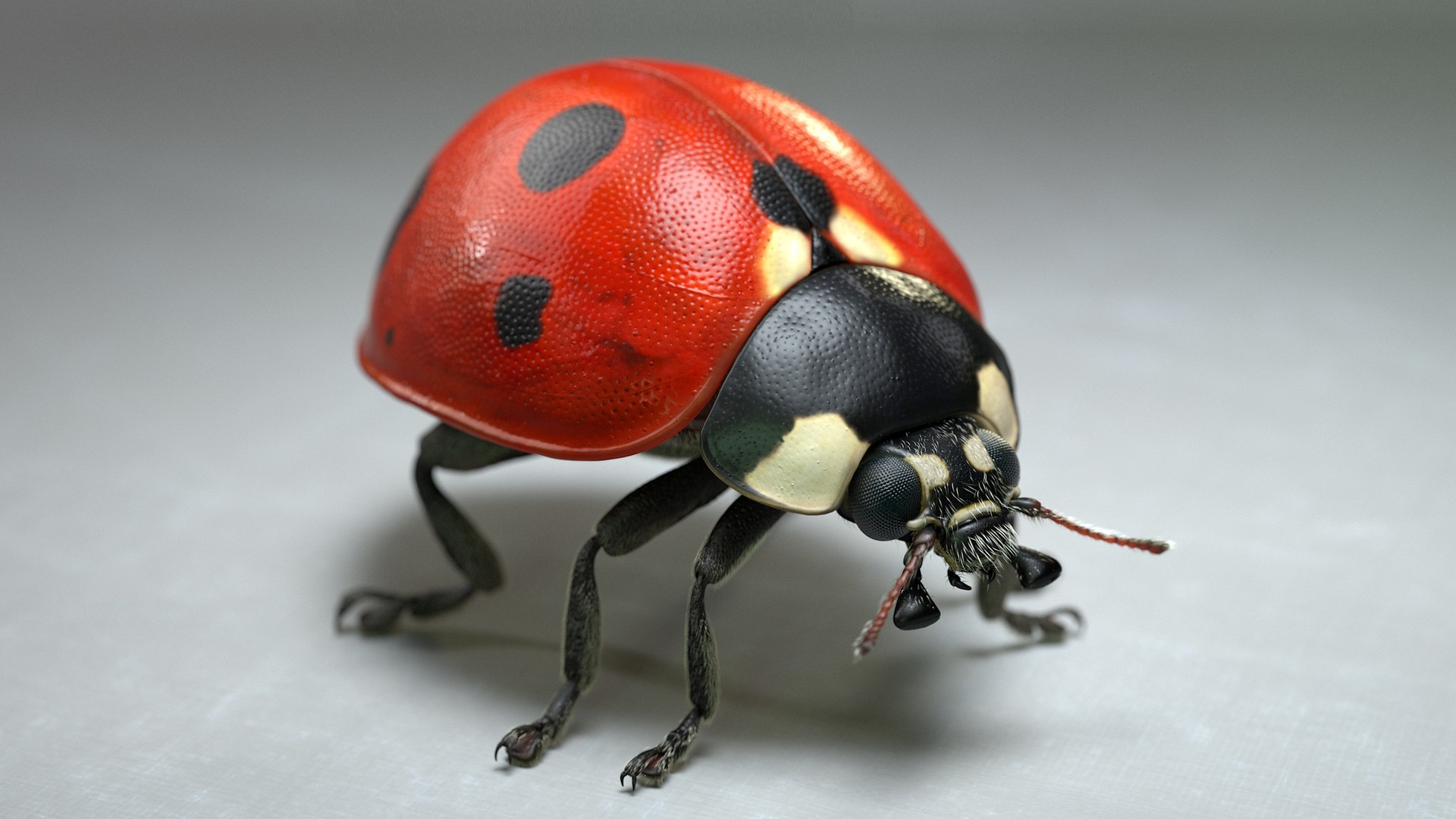 Images Ladybugs Jocelyn Strob Simard Closeup Animals Gray background Ladybird Lady beetle Coccinellidae animal